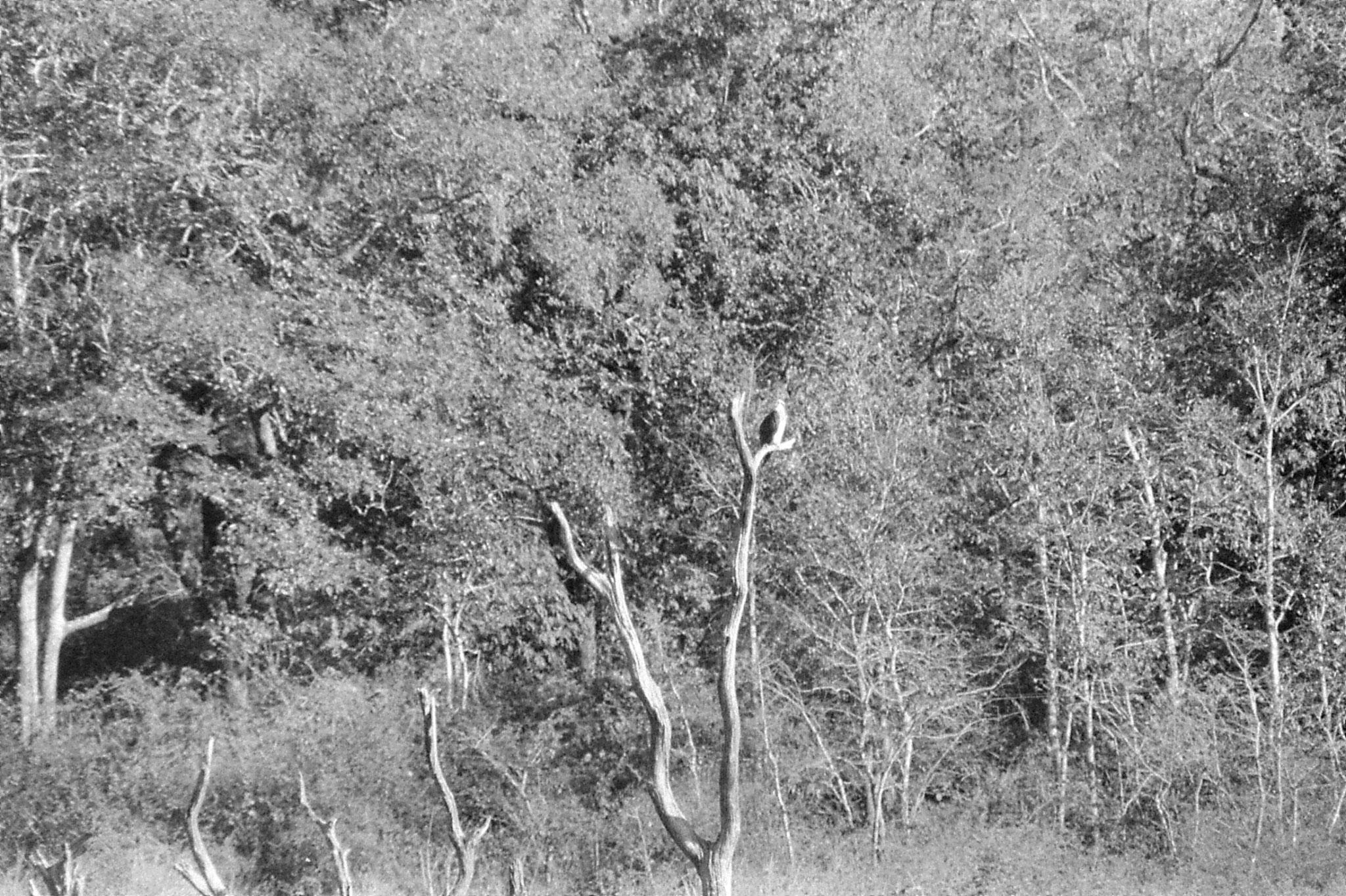 097/27: 23/2/1990 Periyar osprey