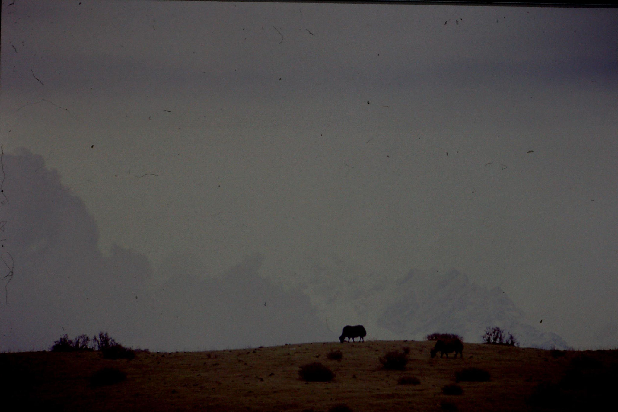 7/5/1990: 12: after Sandakpu, yak with Kanchenjunga behind