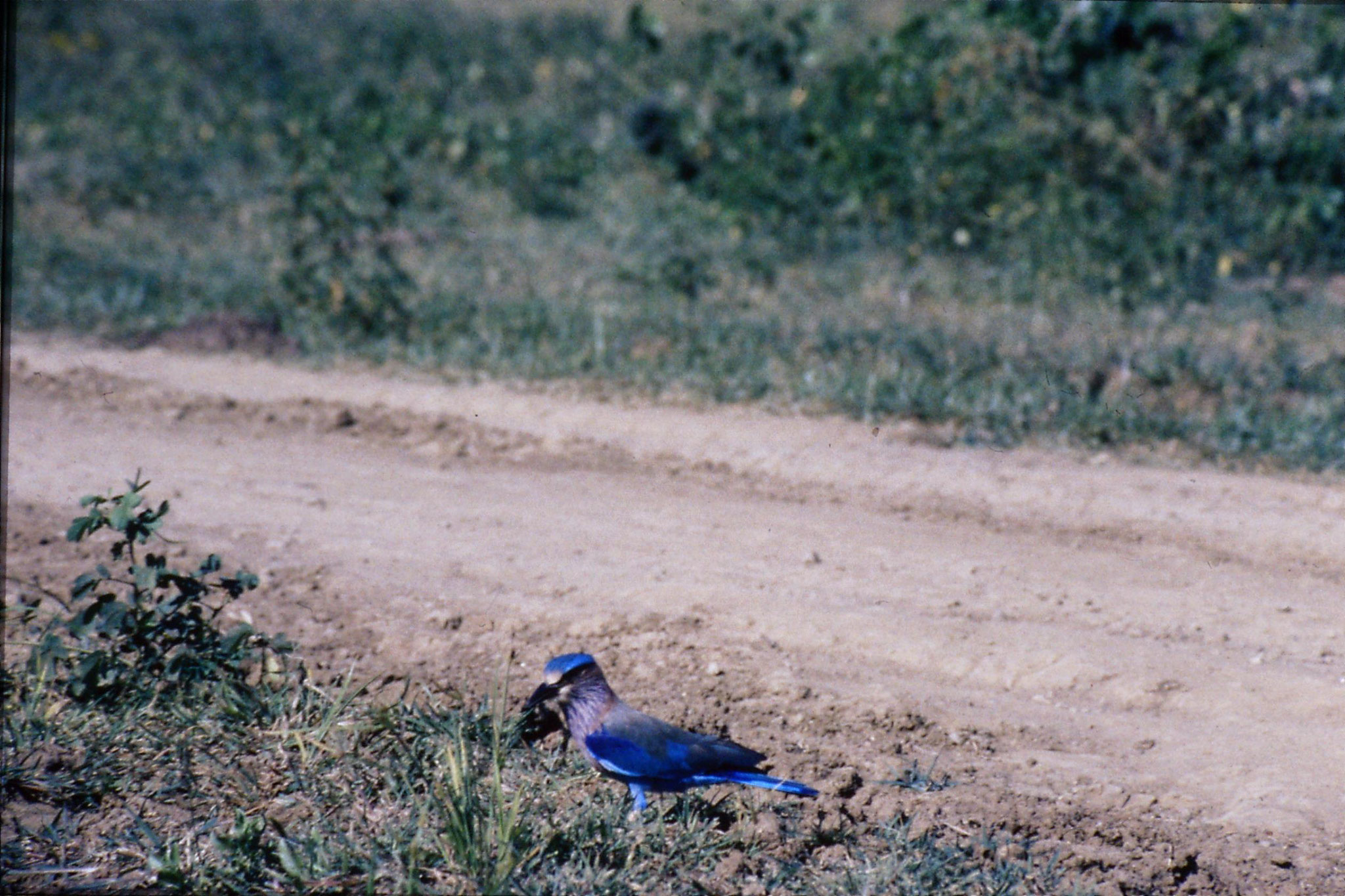 27/1/1989: 28: Yala National Park Indian Roller