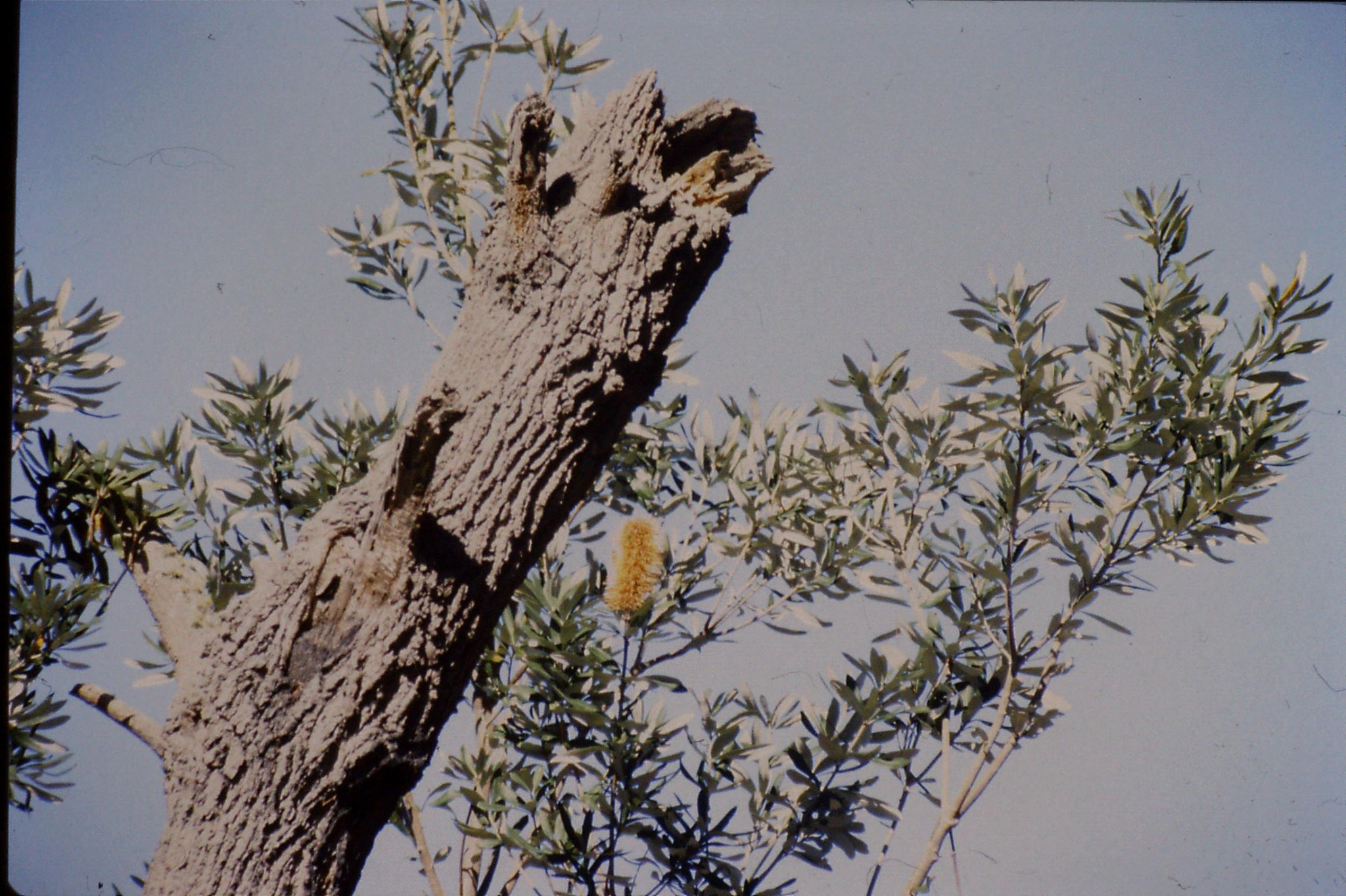 1/10/1990: 5: Gipsland Lakes Nat. Pk., Emu Bight, banksia in bloom