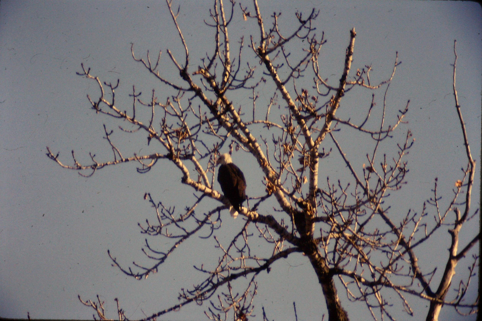 23/1/1991: 23: bald eagles