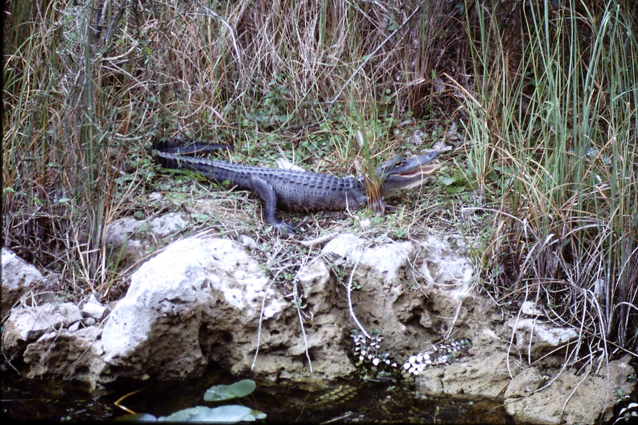 9/1/1991: 33: Shark Valley, alligator