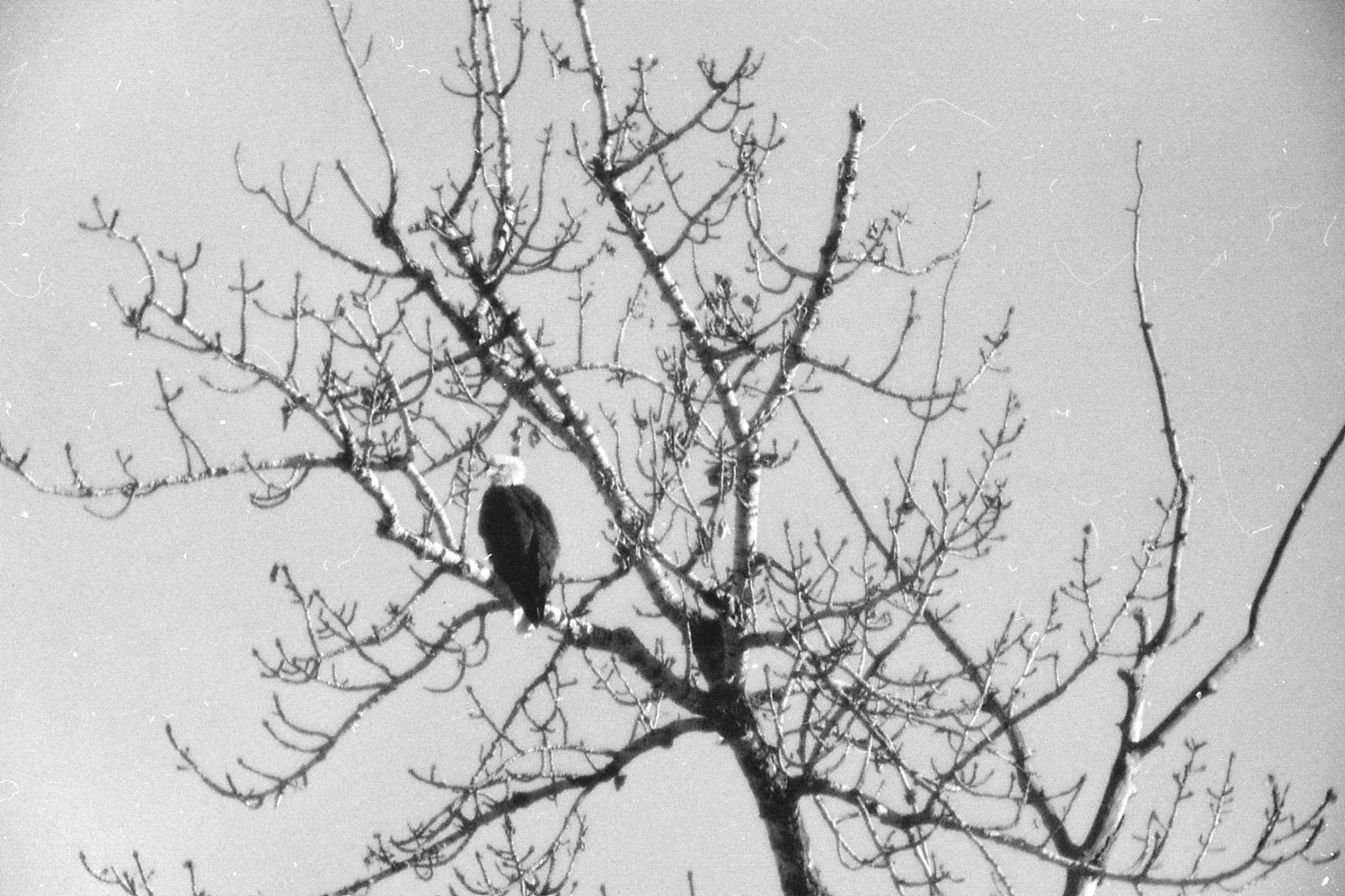 23/1/1991: 5: Boise Bald Eagle
