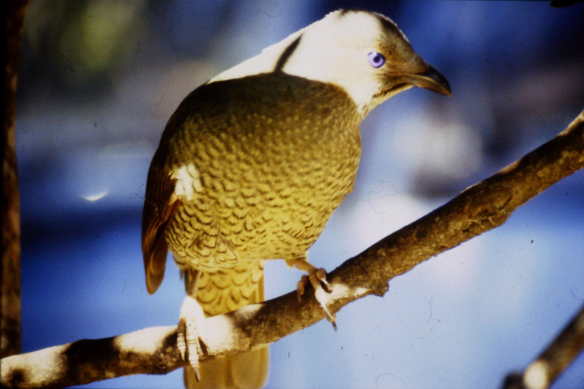 13/10/1990: 6: Mt Lamington, Lewin's Honey eater