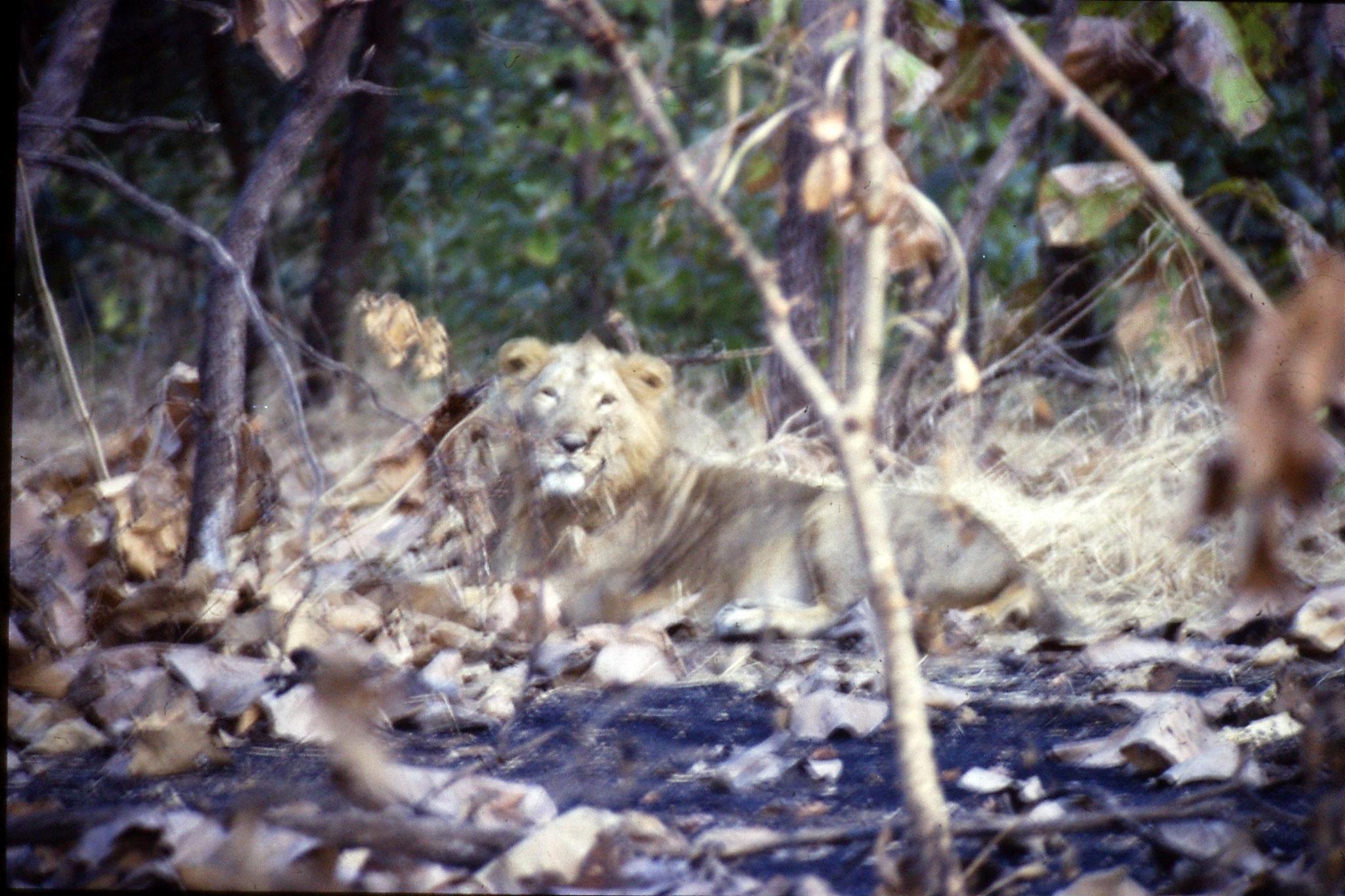 13/12/1989: 2: Sasan Gir, lion