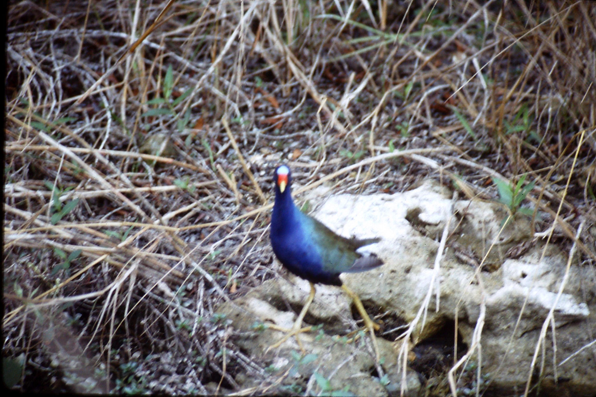 9/1/1991: 31: Shark Valley, purple swamphen