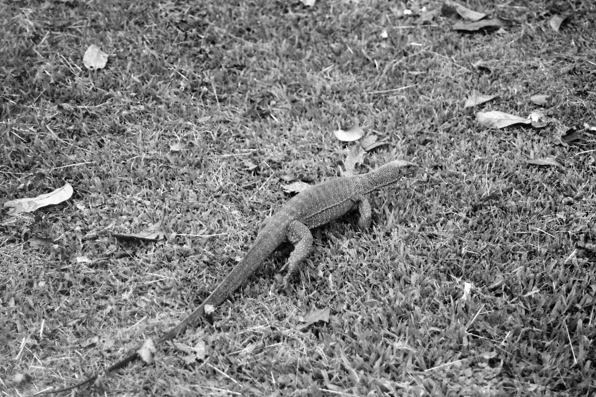 22/6/1990: 37: Tamen Negara, monitor lizard 1m long