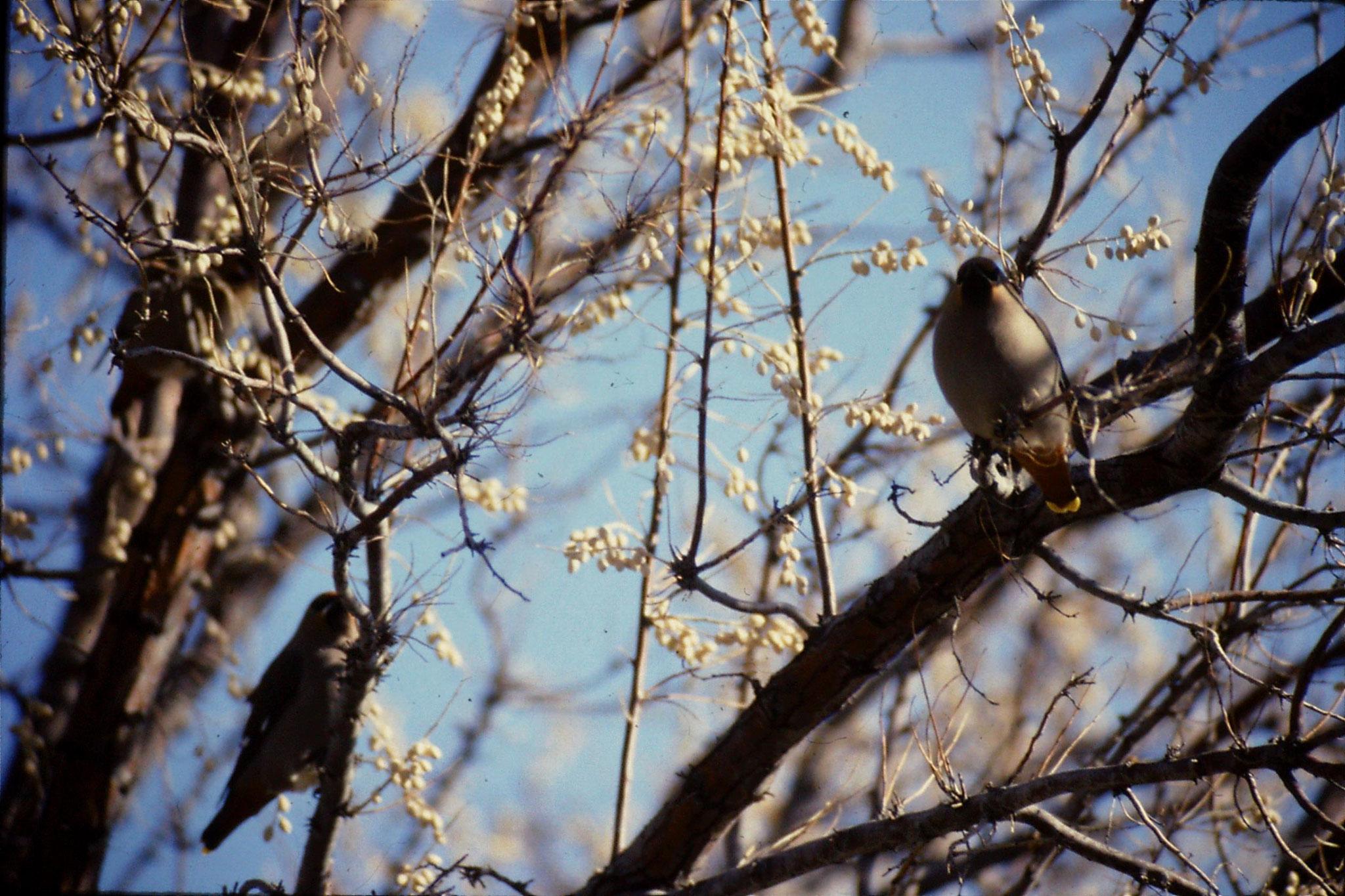 24/1/1991: 29: Bruneau Sand Dunes: Bavarian waxwings