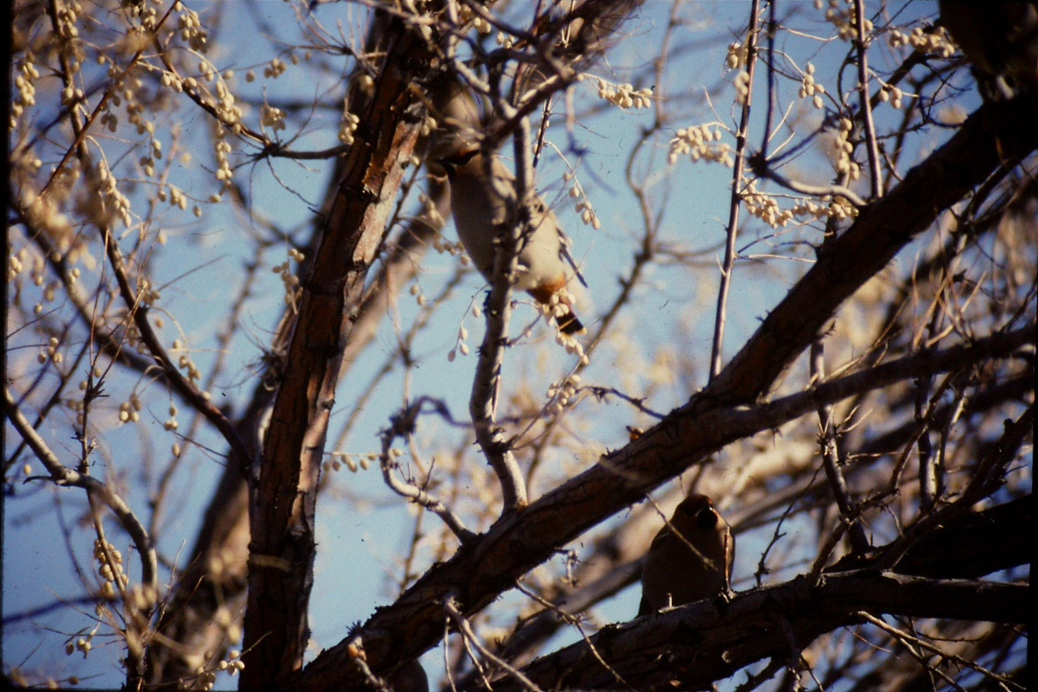 24/1/1991: 30: Bruneau Sand Dunes: Bavarian waxwings