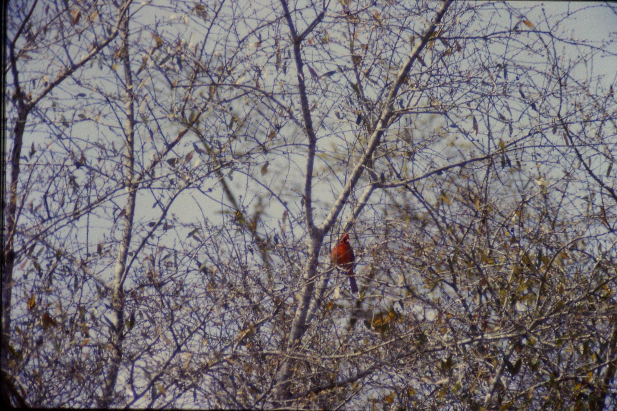 14/3/1991: 17: Little Okmulgee State Park cardinal