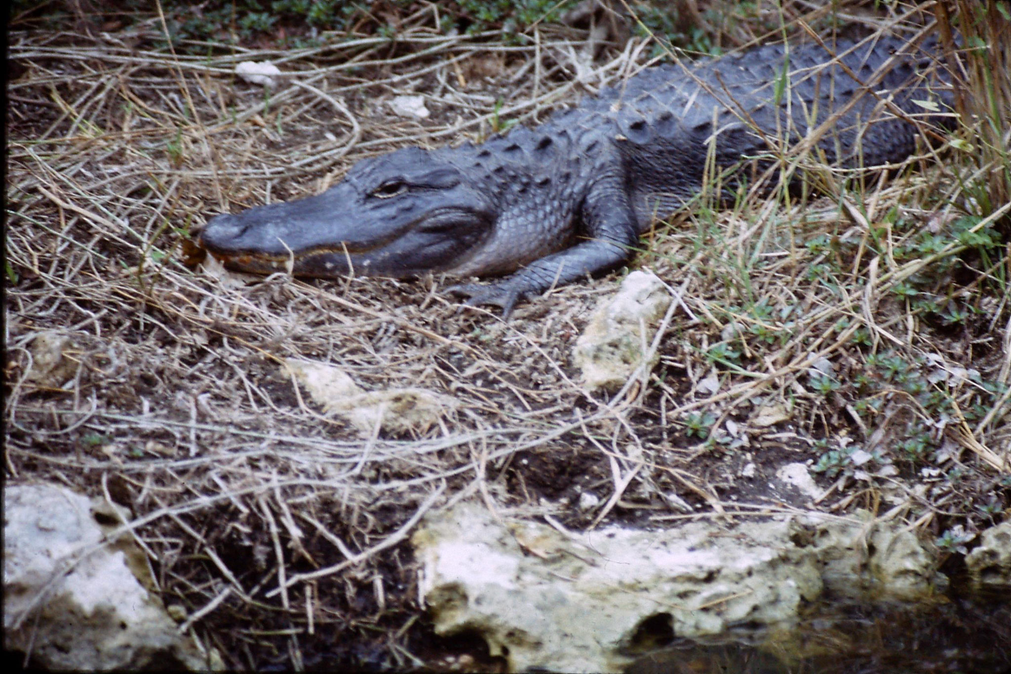 9/1/1991: 32: Shark Valley, alligator