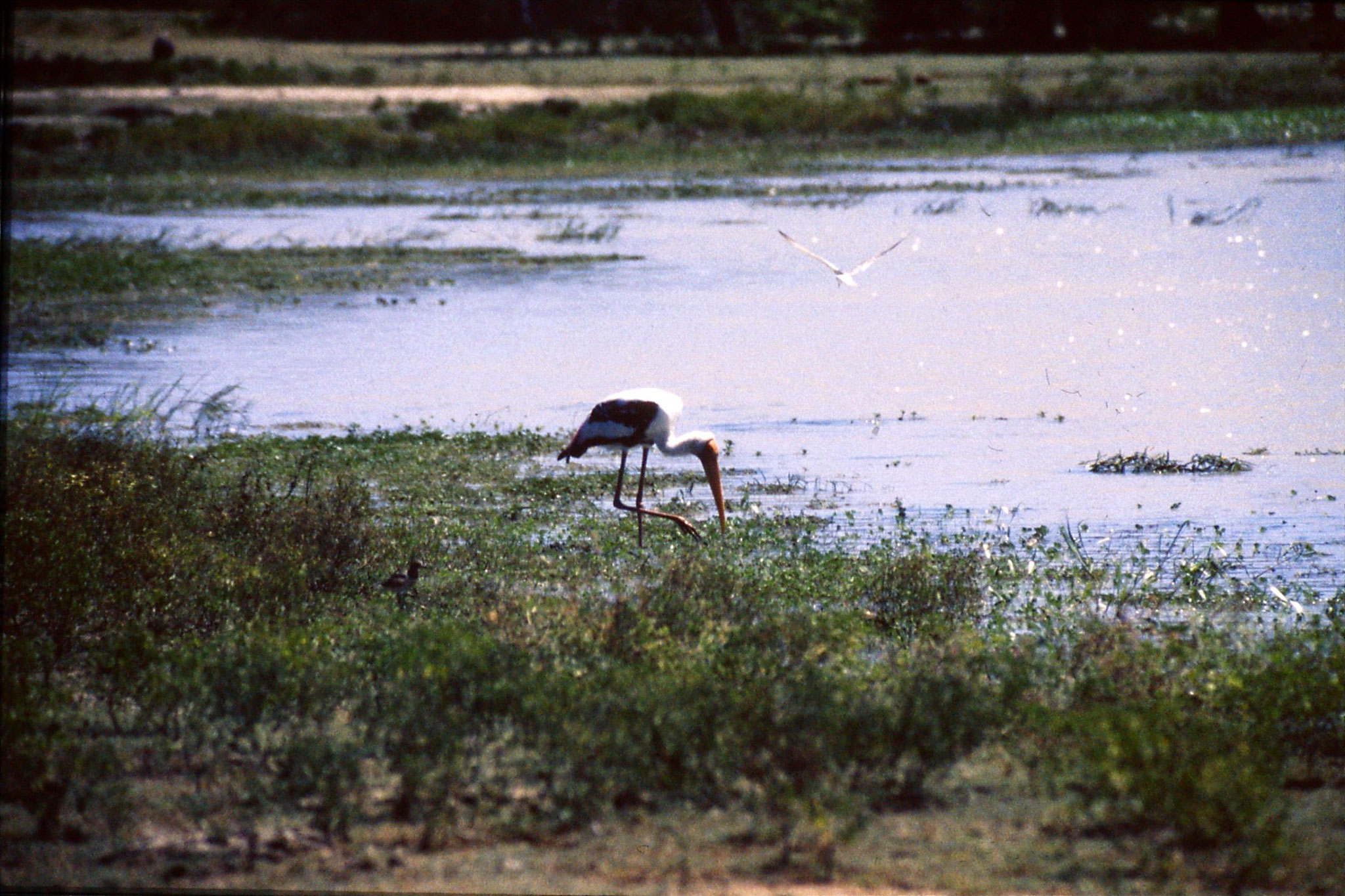 27/1/1989: 19: Yala National Park painted stork