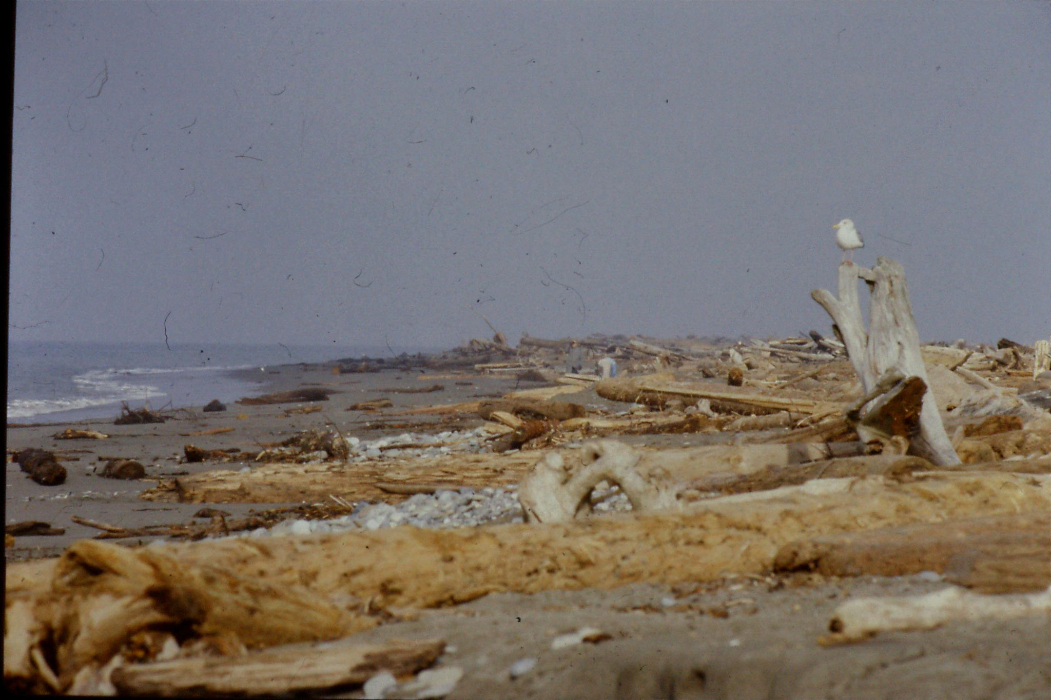 11/2/1991: 29: Dungeness Spit