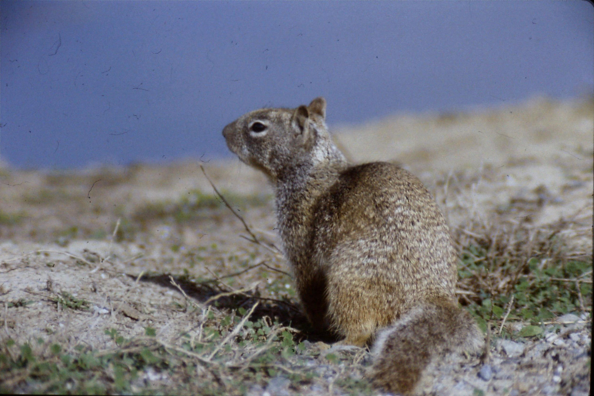 15/2/1991: 9: Sacramento NWR, Beechy Ground Squirrel
