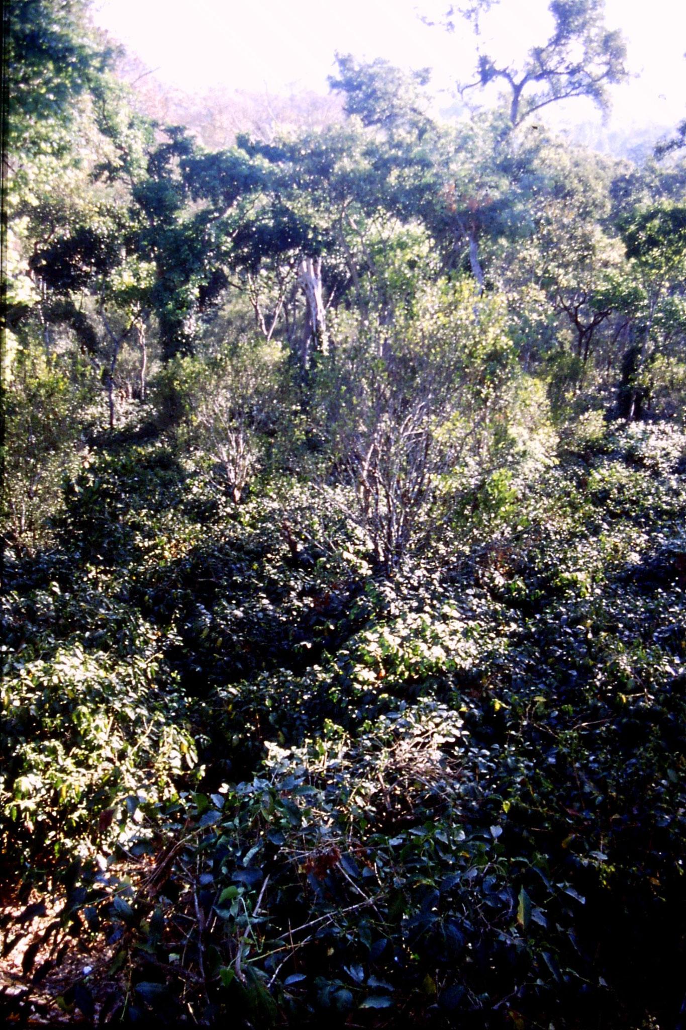 108/1: 9/3/1990  Suntikoppa - garden with coffee bushes