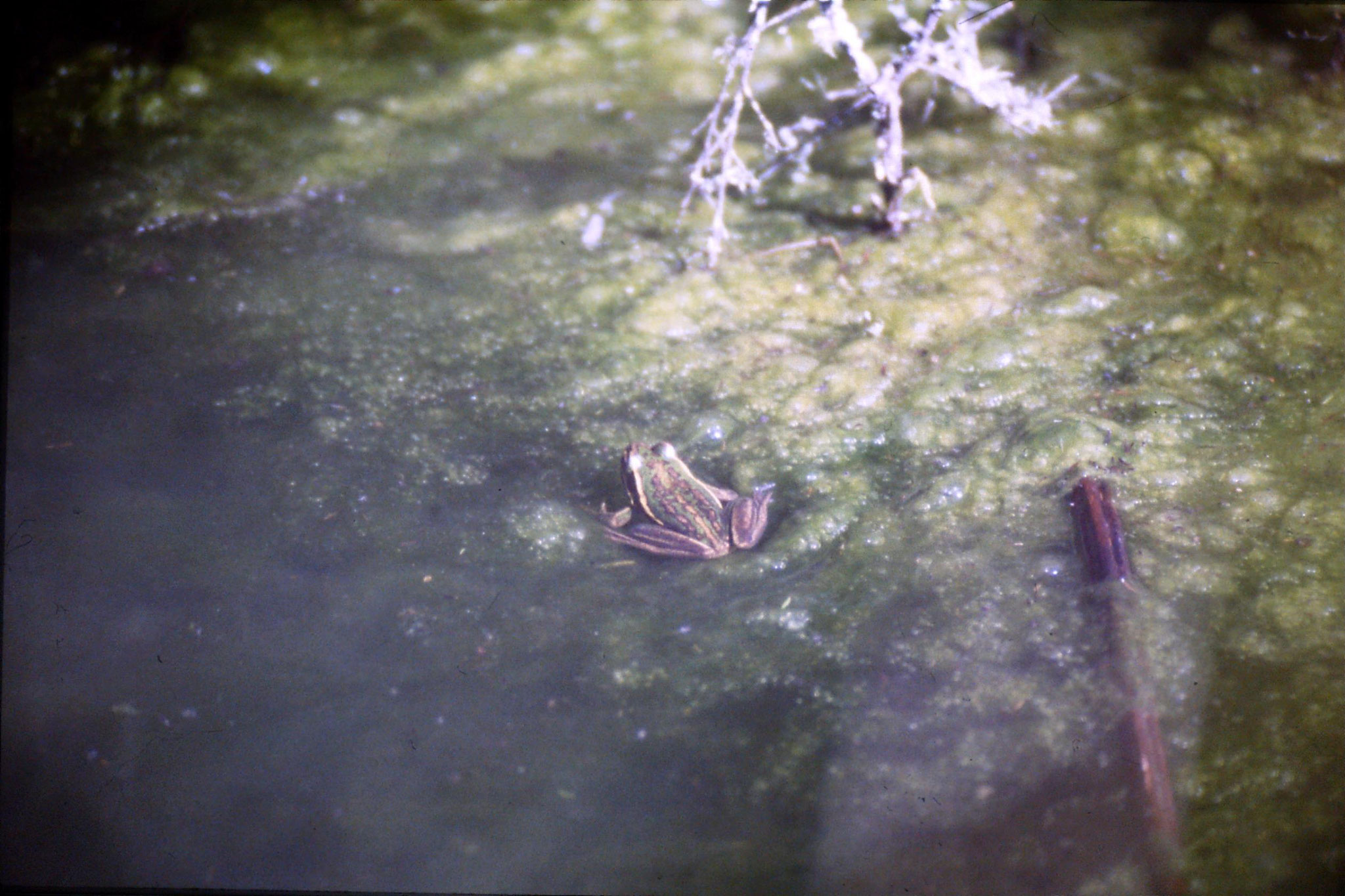 31/8/1990: 28: Waimangu frogs