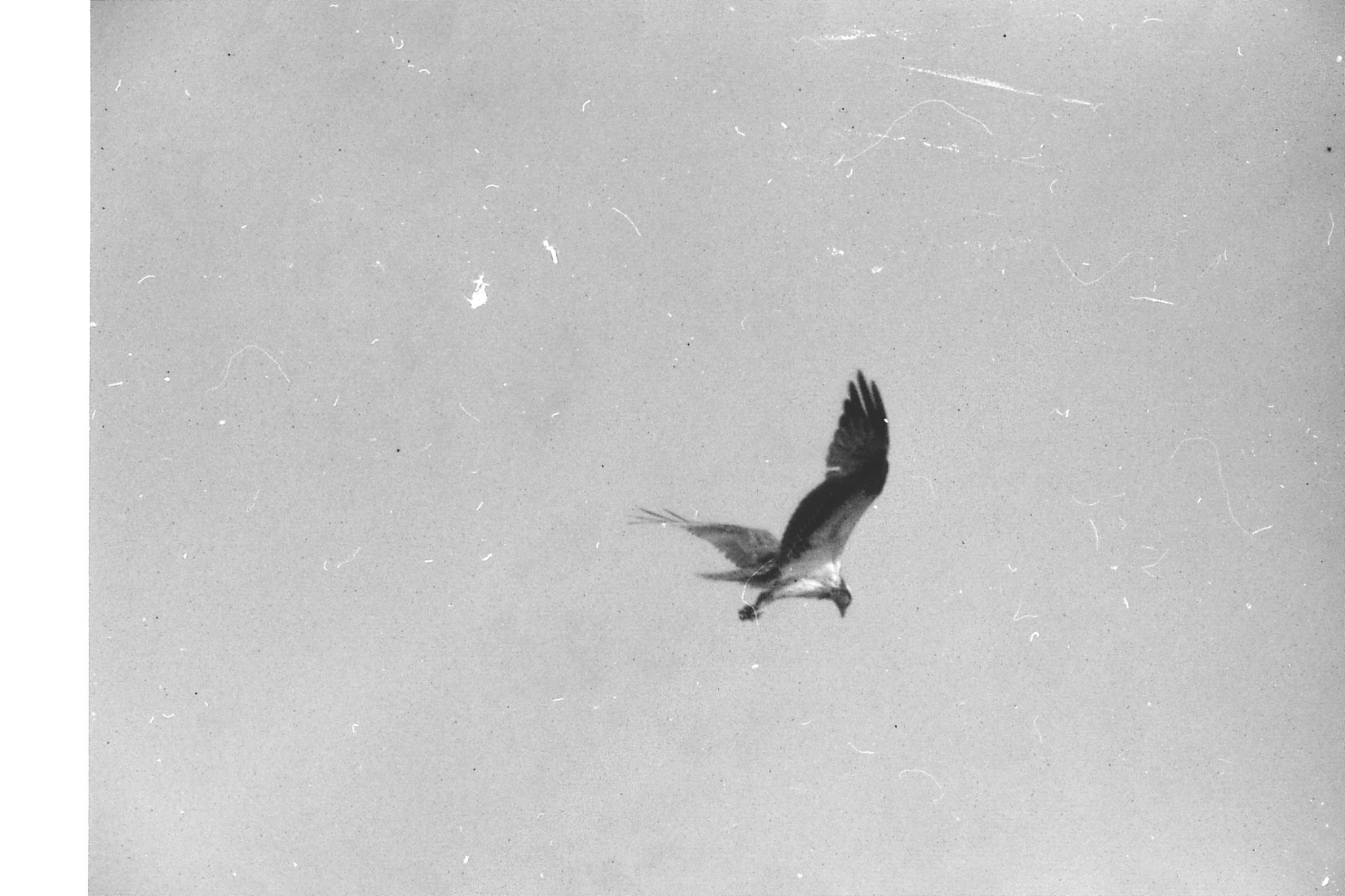 21/12/1990: 4: Everglades, osprey