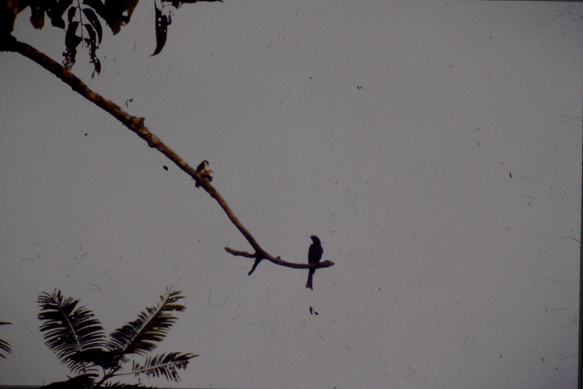 24/6/1990: 10: Tamen Negara Falconet and Racket tailed drongo