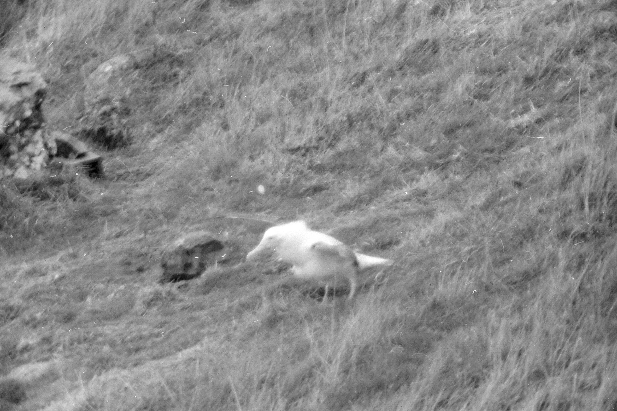 19/8/1990: 21: Dunedin albatross colony
