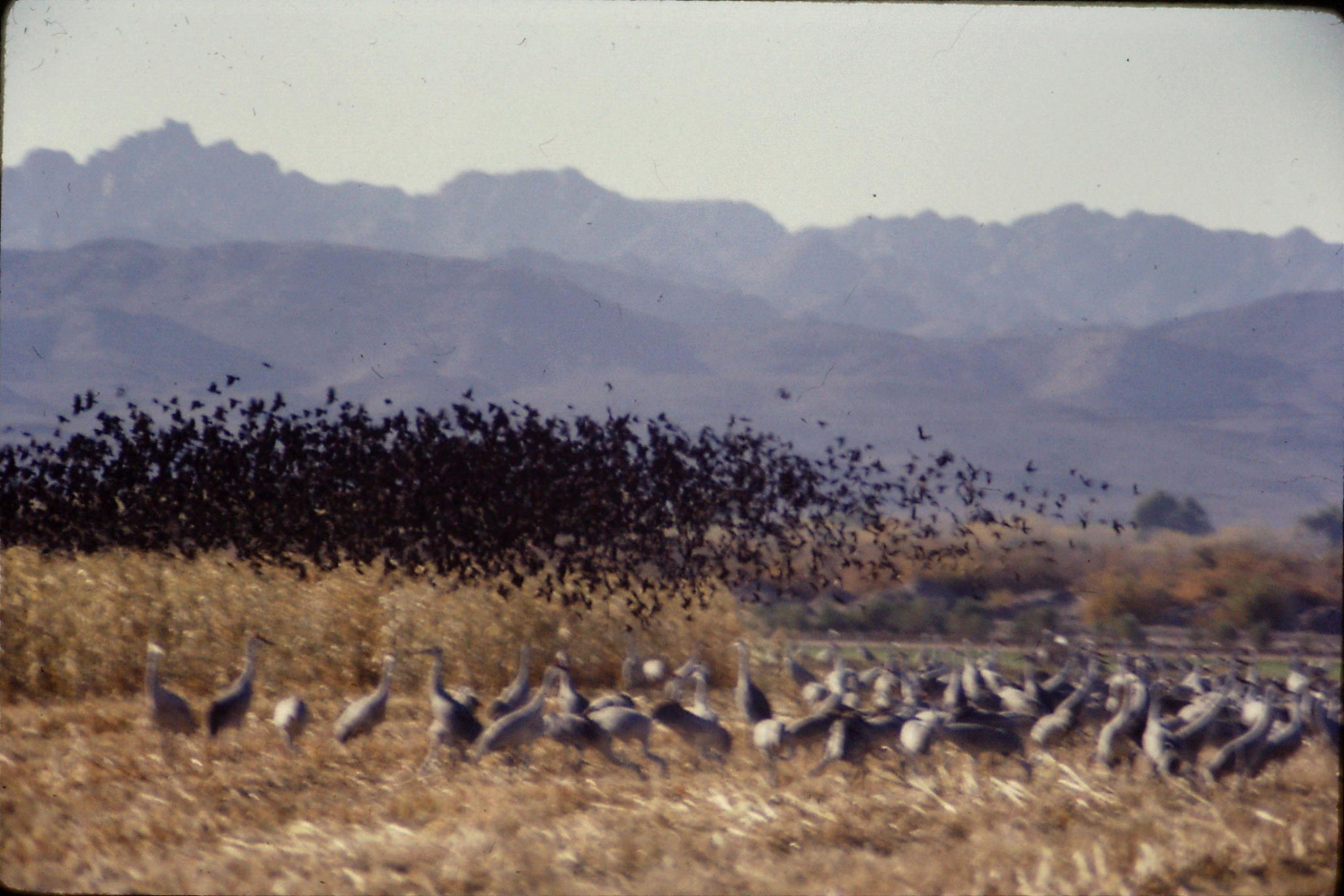 10/12/1990: 3: Cibola WR, sandhill cranes and redwinged blackbirds