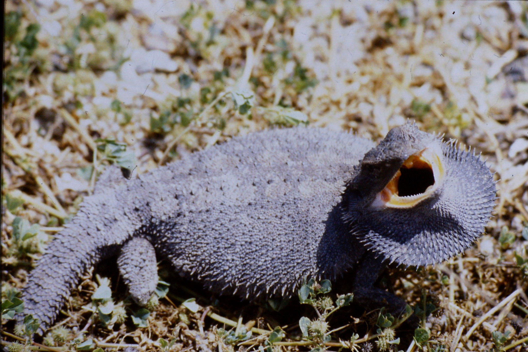 10/10/1990: 32: on road for Lightning Ridge, frilled lizard on road