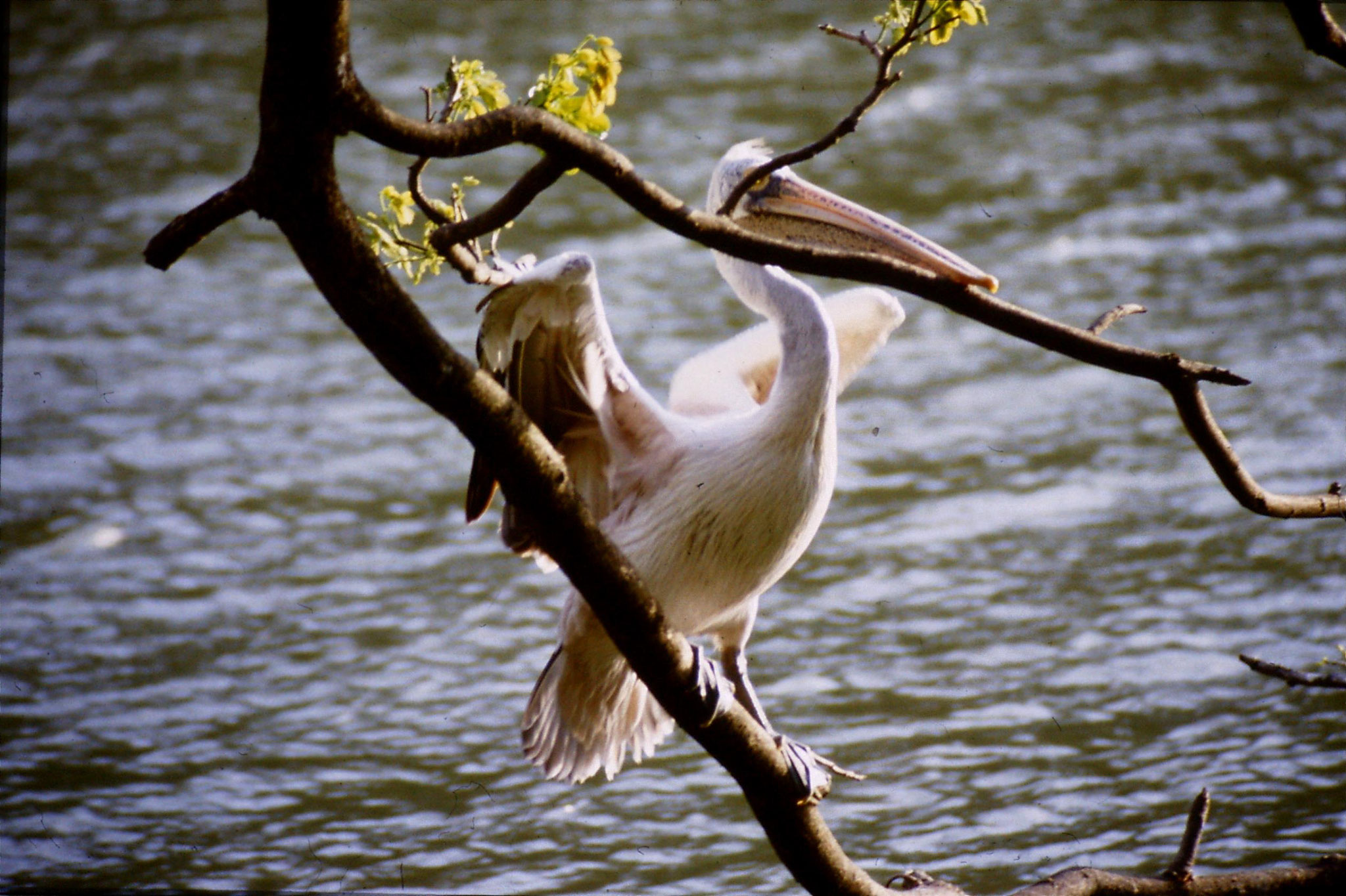 4/2/1990: 14: Kandy Lake pelican