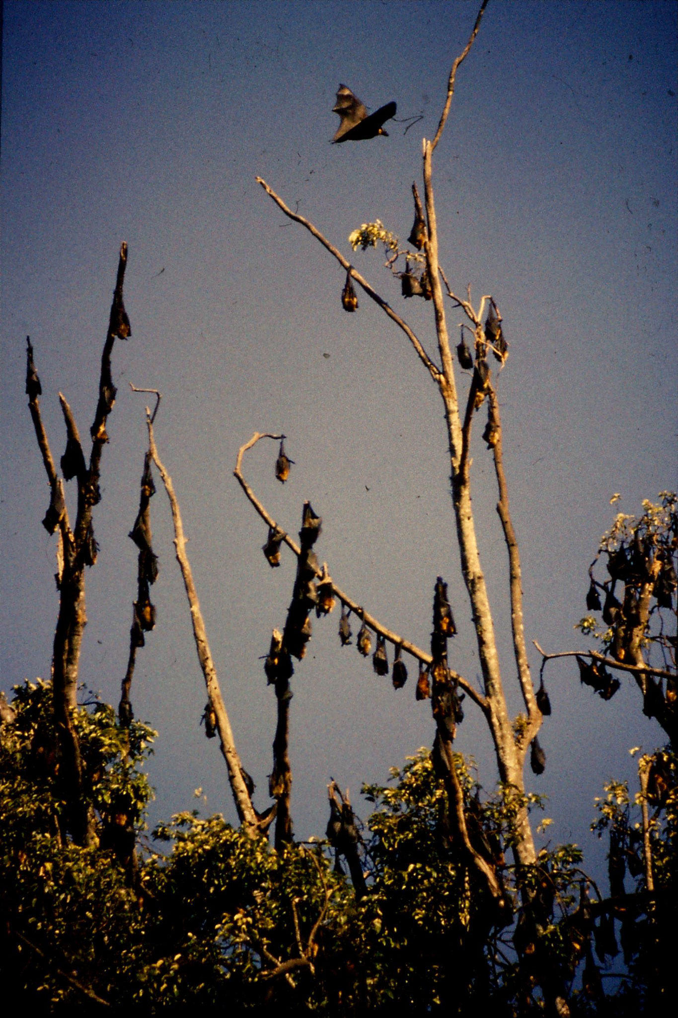 5/2/1990: 32: Kandy Botanic Gardens