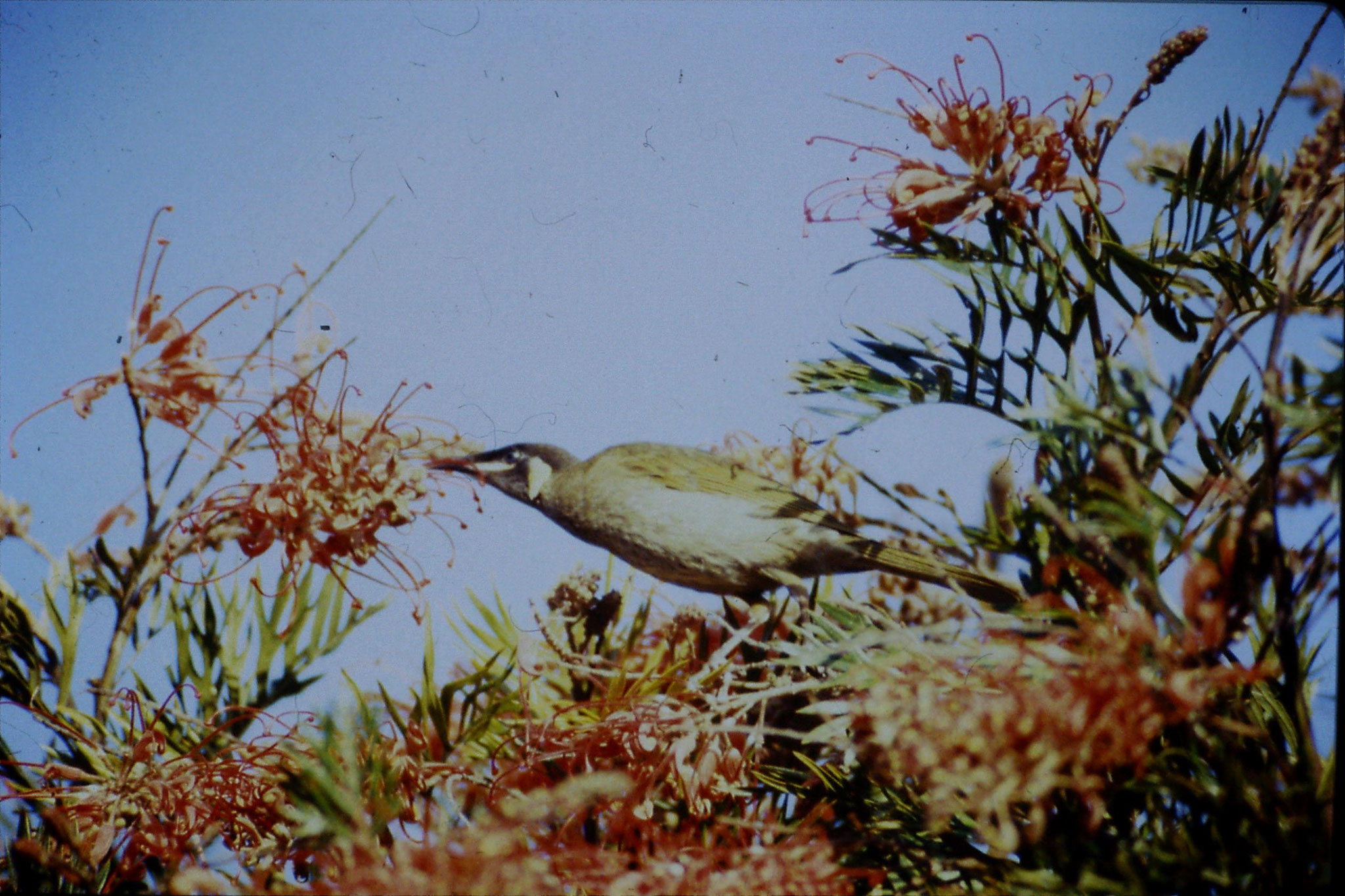 13/10/1990: 17: Mt Lamington, Lewin's honey eater