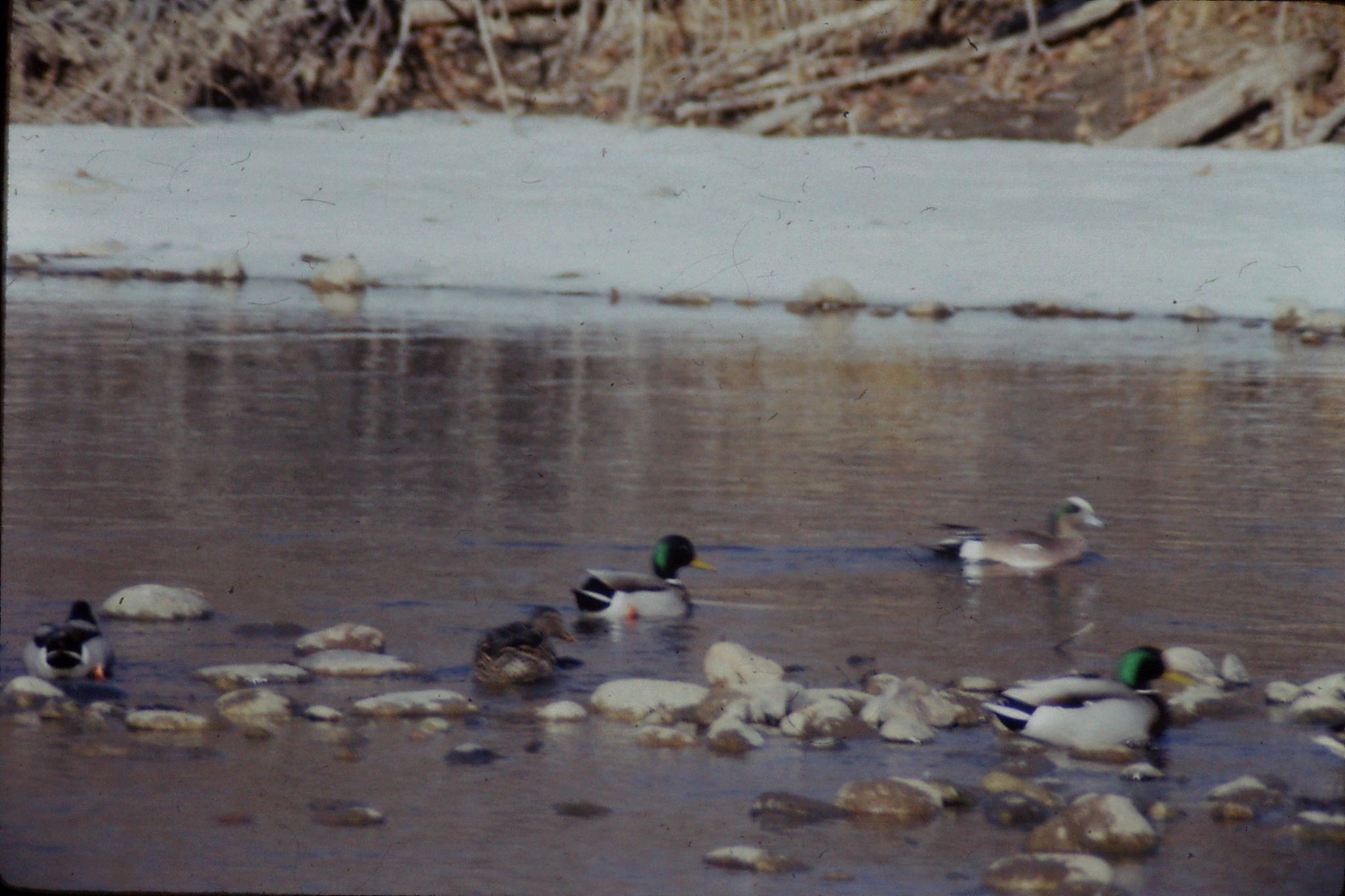 23/1/1991: 27: Mallard and American widgeon