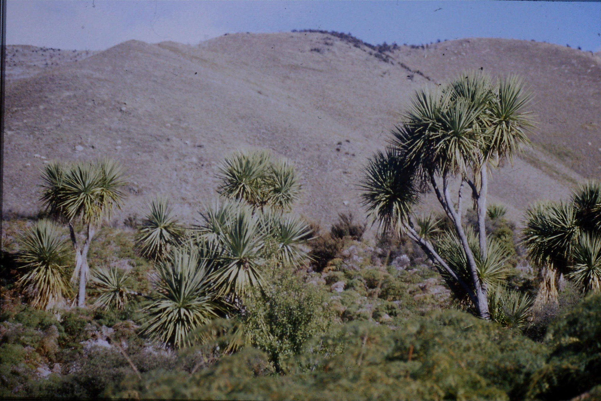 21/8/1990: 20: Cabbage trees