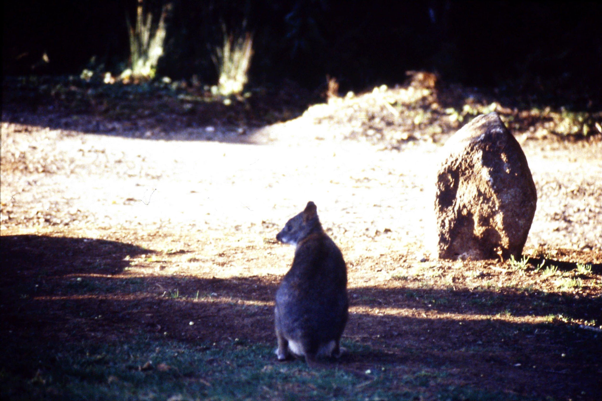 12/10/1990: 3: Mt Lamington, pademelon