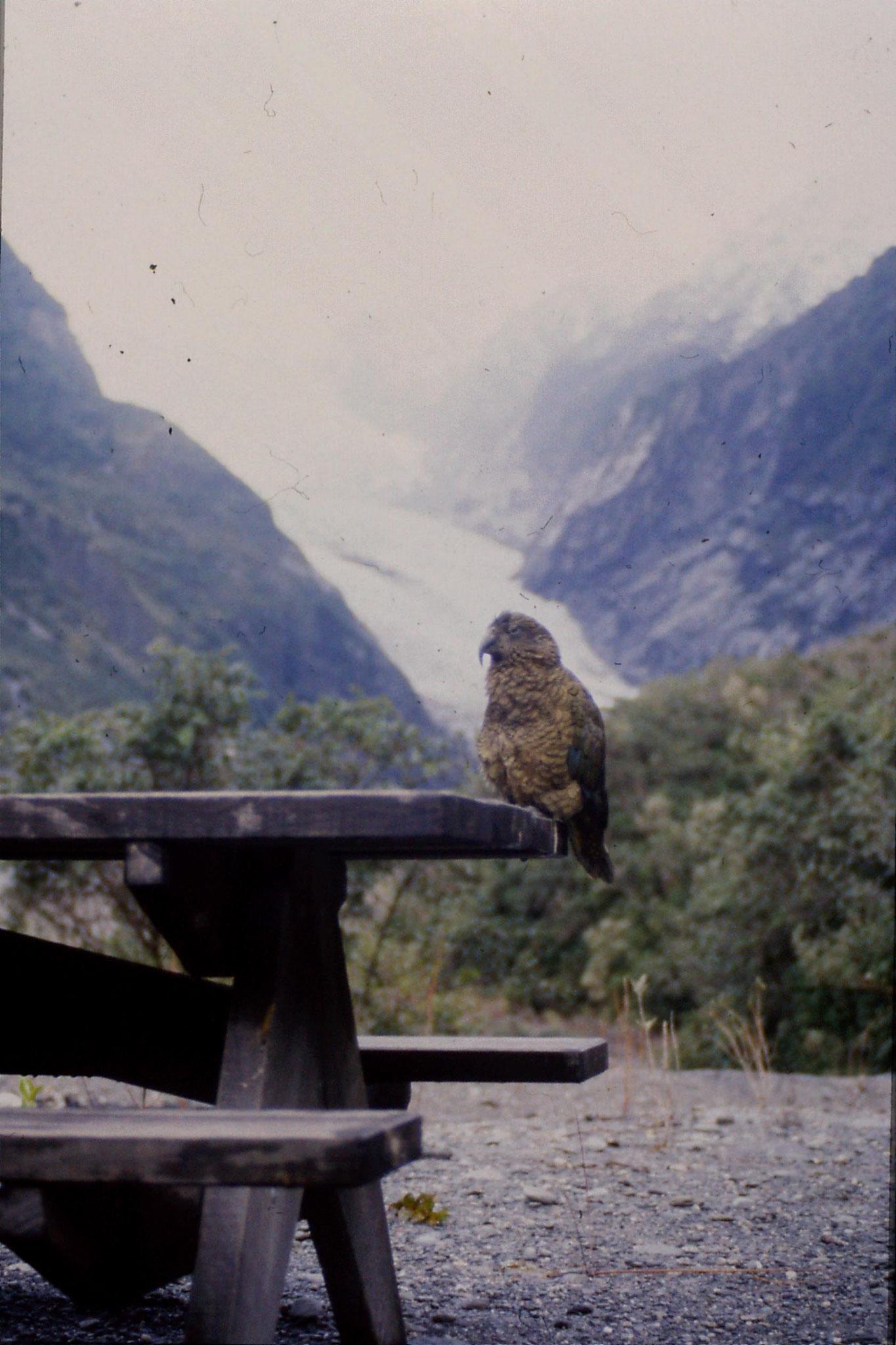 22/8/1990: 34: Keas at Franz Joseph Glacier