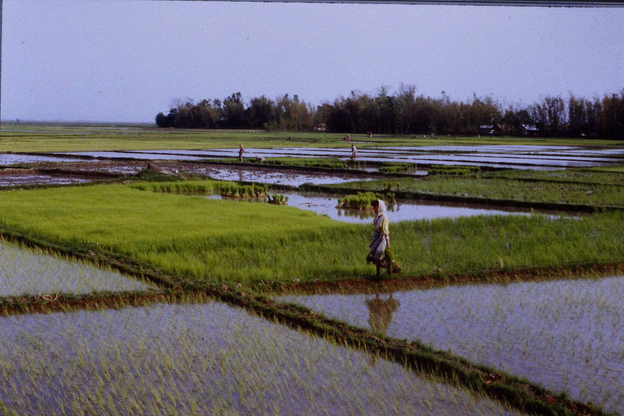 113/22: 17/4 Rice Planting