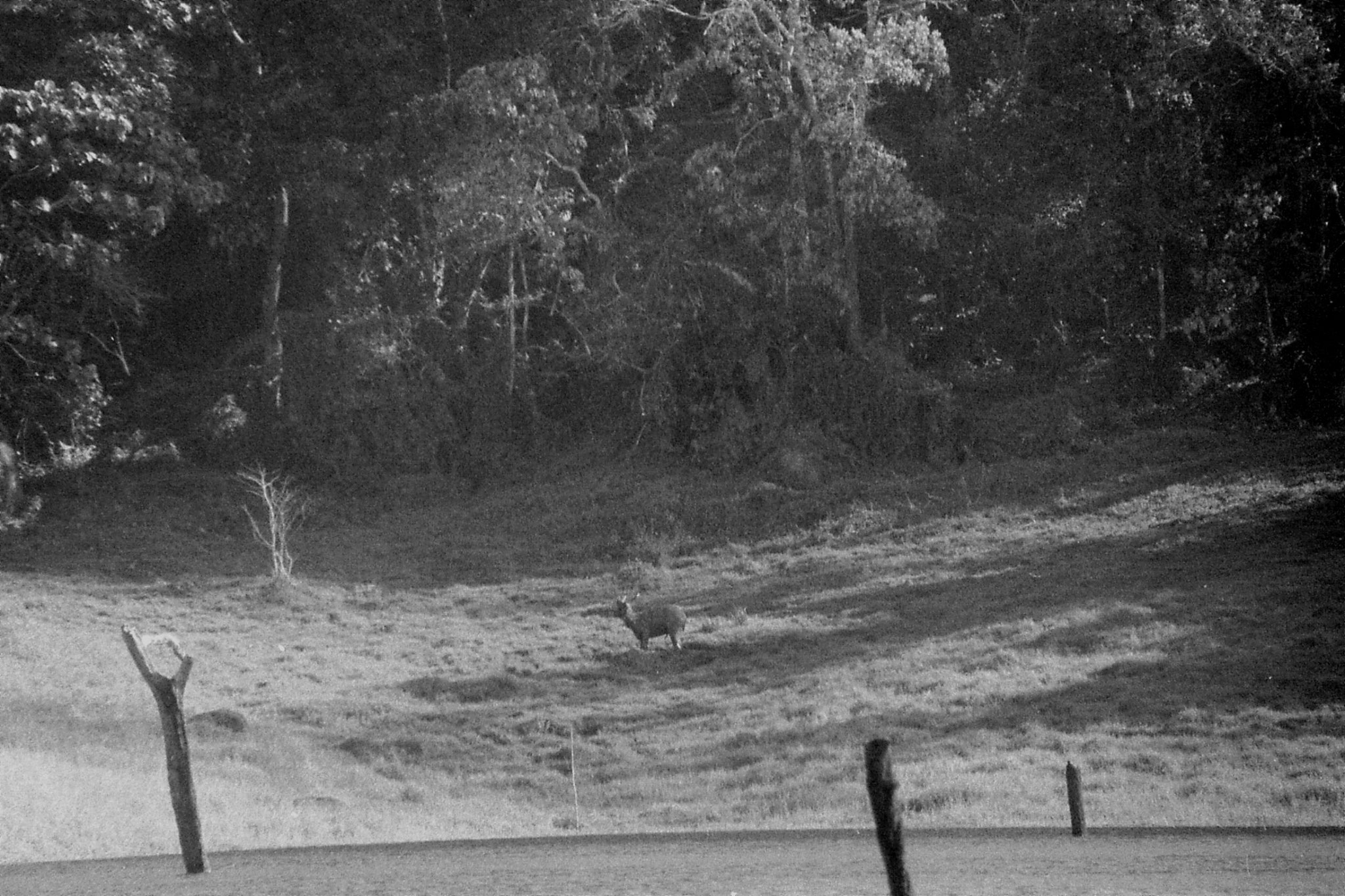 097/19: 22/2/1990 Periyar - deer