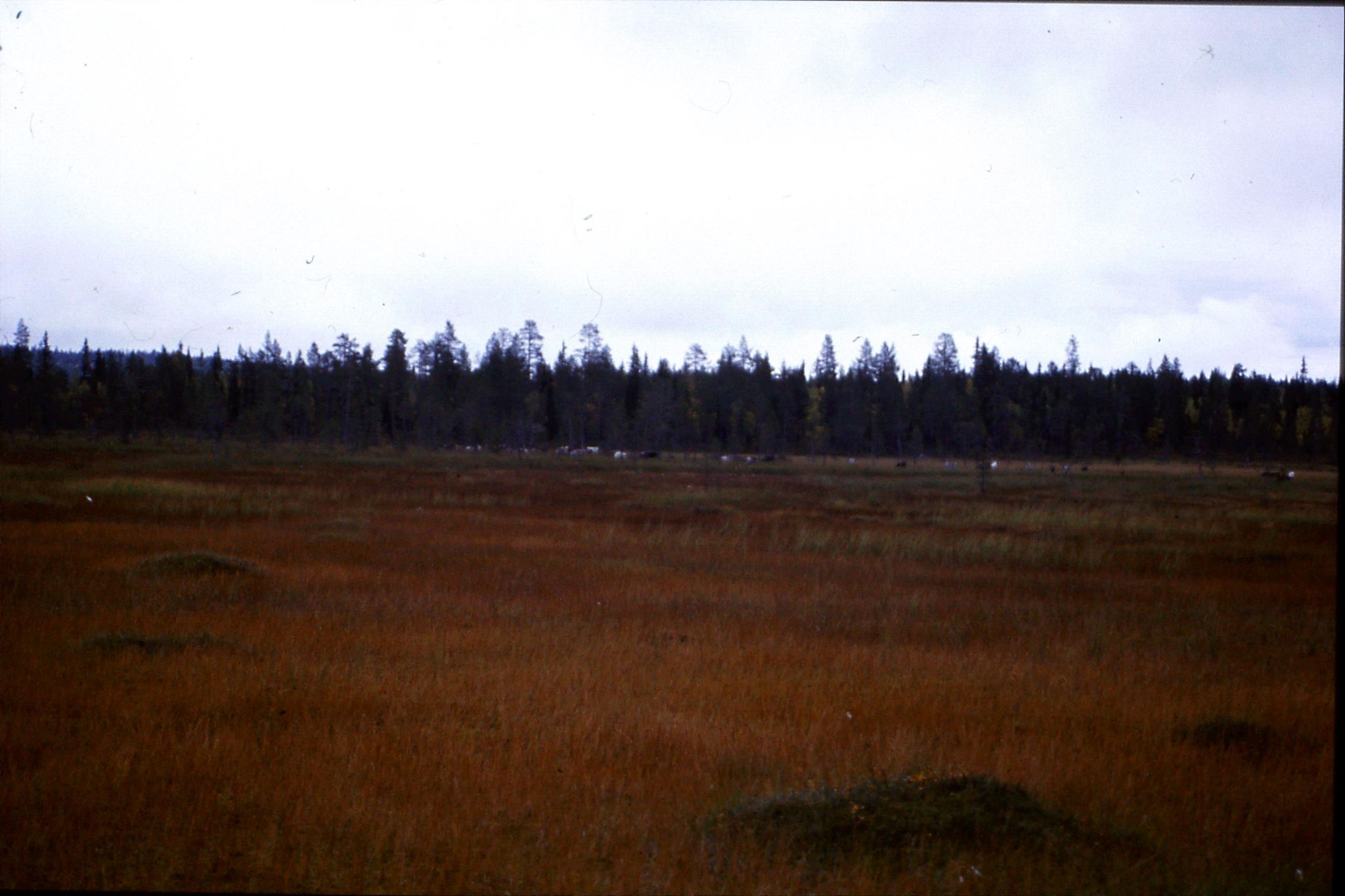12/9/1988: 7: reindeer on road south from Jokkmokk