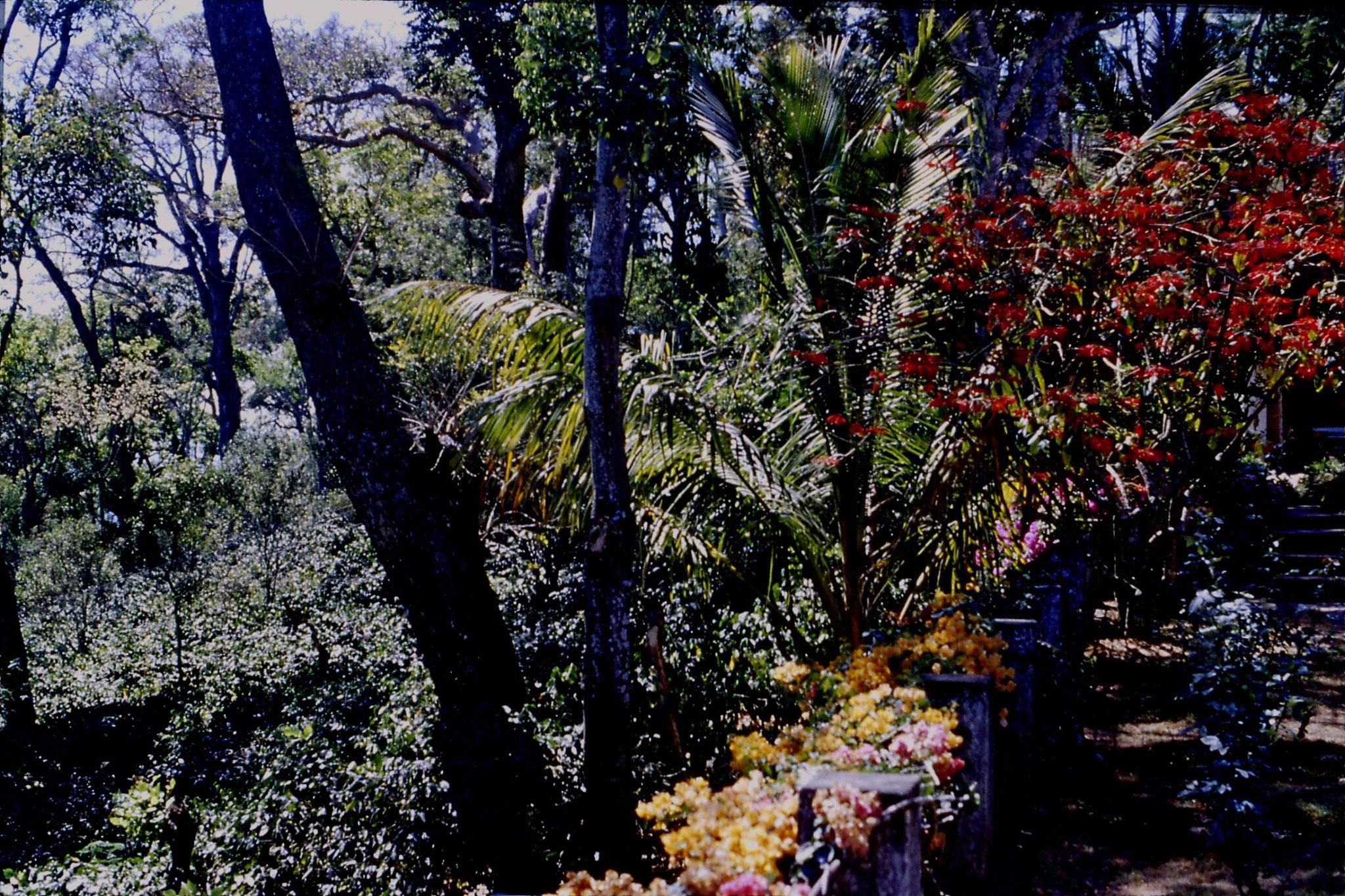 108/0: 8/3/1990 Suntikoppa - garden with coffee bushes