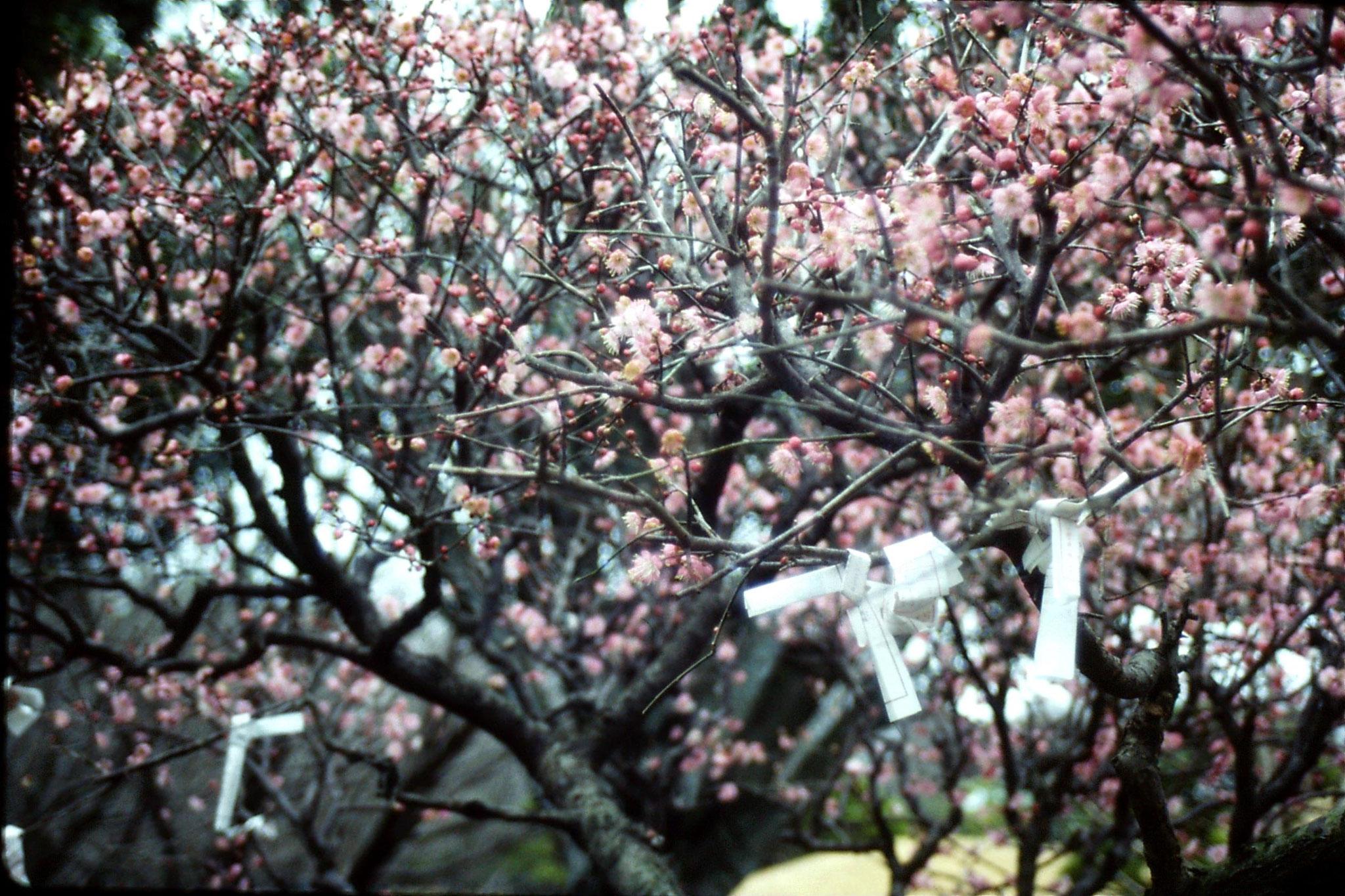 22/1/1989: 4: 'Suizenji' Kumamoto Gardens
