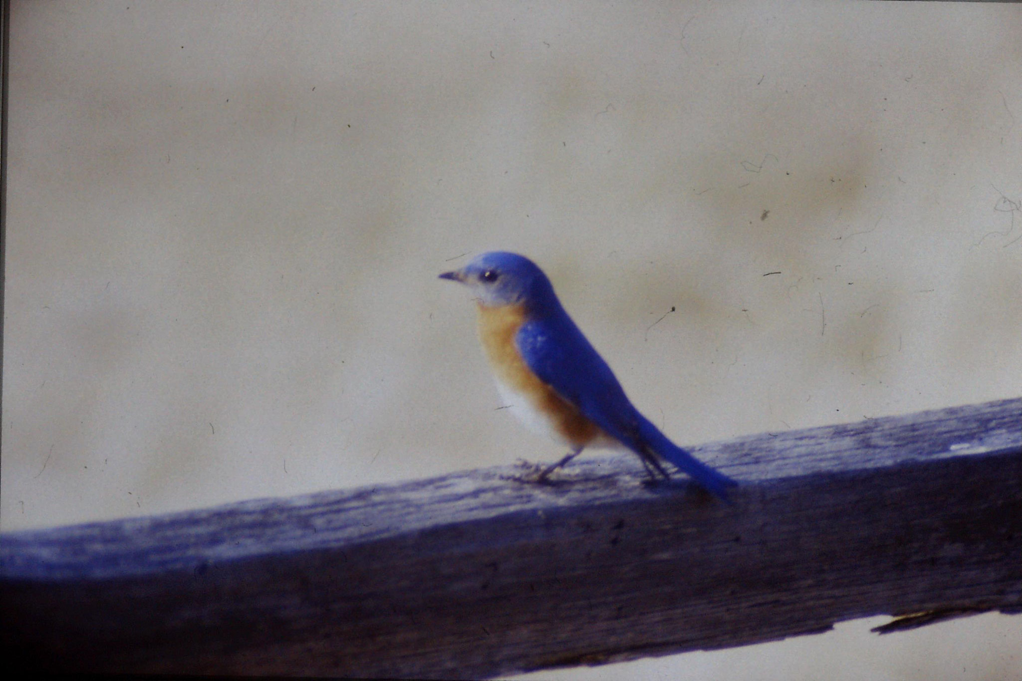 21/3/1991: 4: Blue Bird at Mary Potter's place