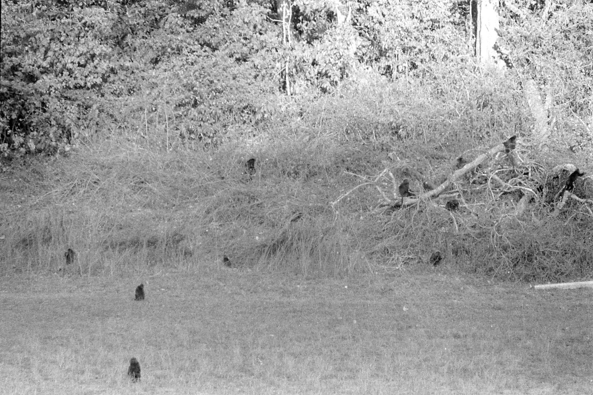 097/21: 22/2/1990 Periyar black langurs