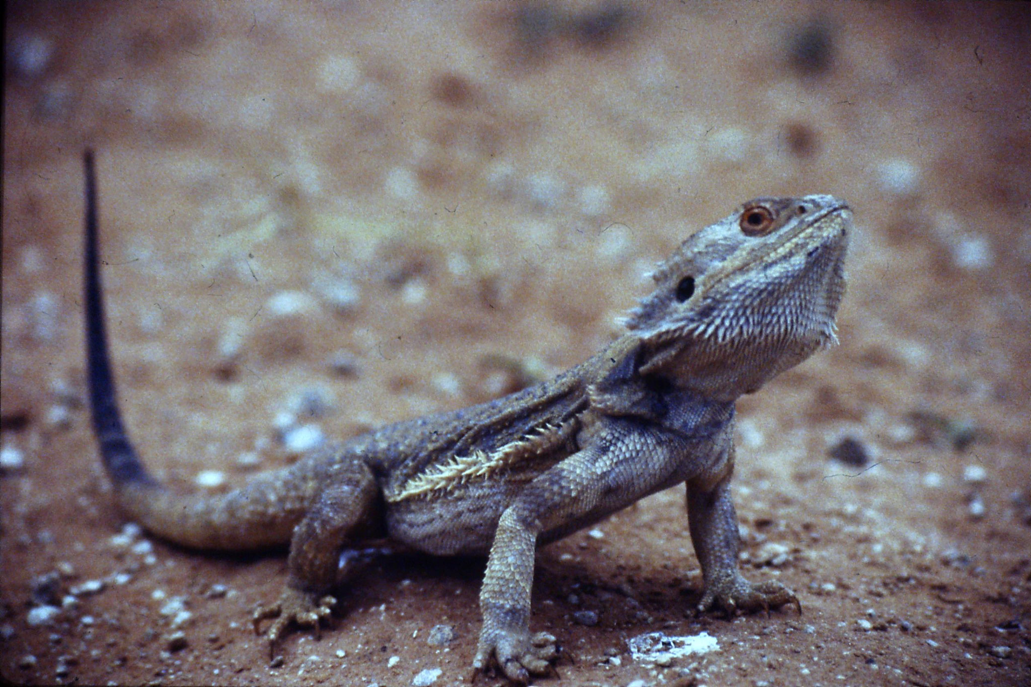 3/11/1990: 24: lizard 2ft near Merindee