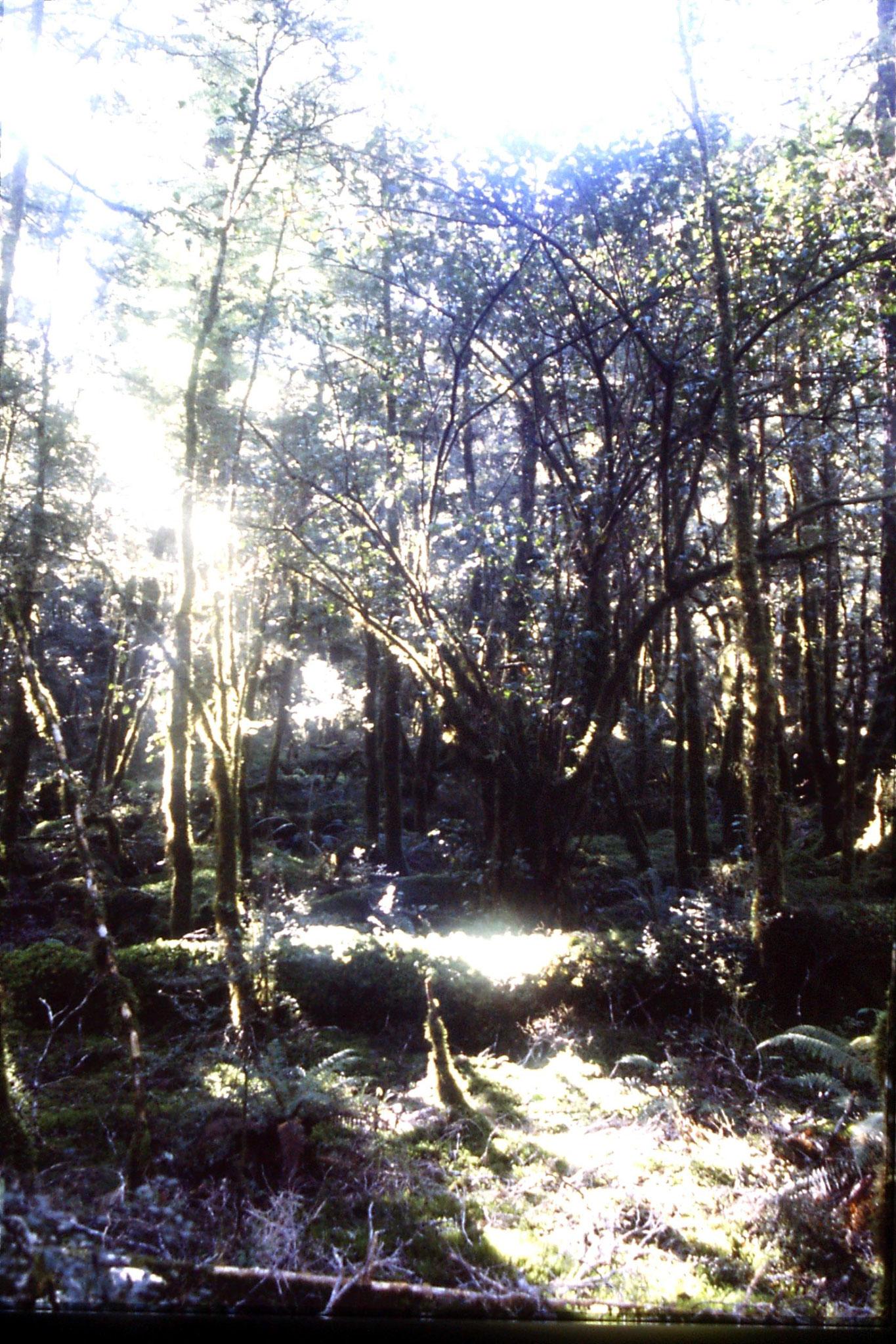 15/8/1990: 34: beech forest