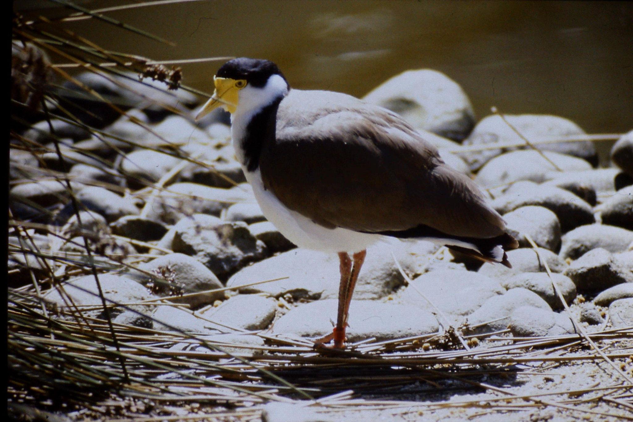 4/10/1990: 11: Healesville  Sanctuary, plover