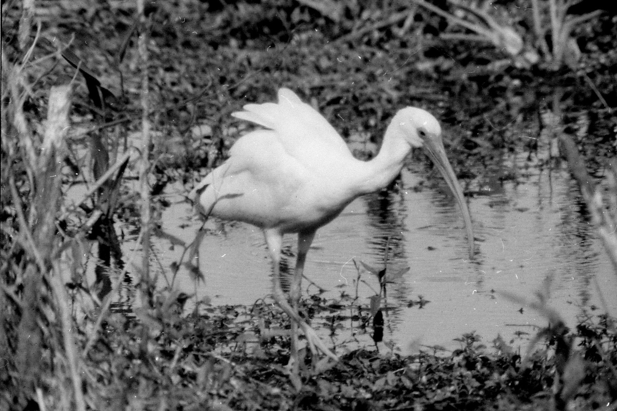 21/12/1990: 10: Everglades, white ibis