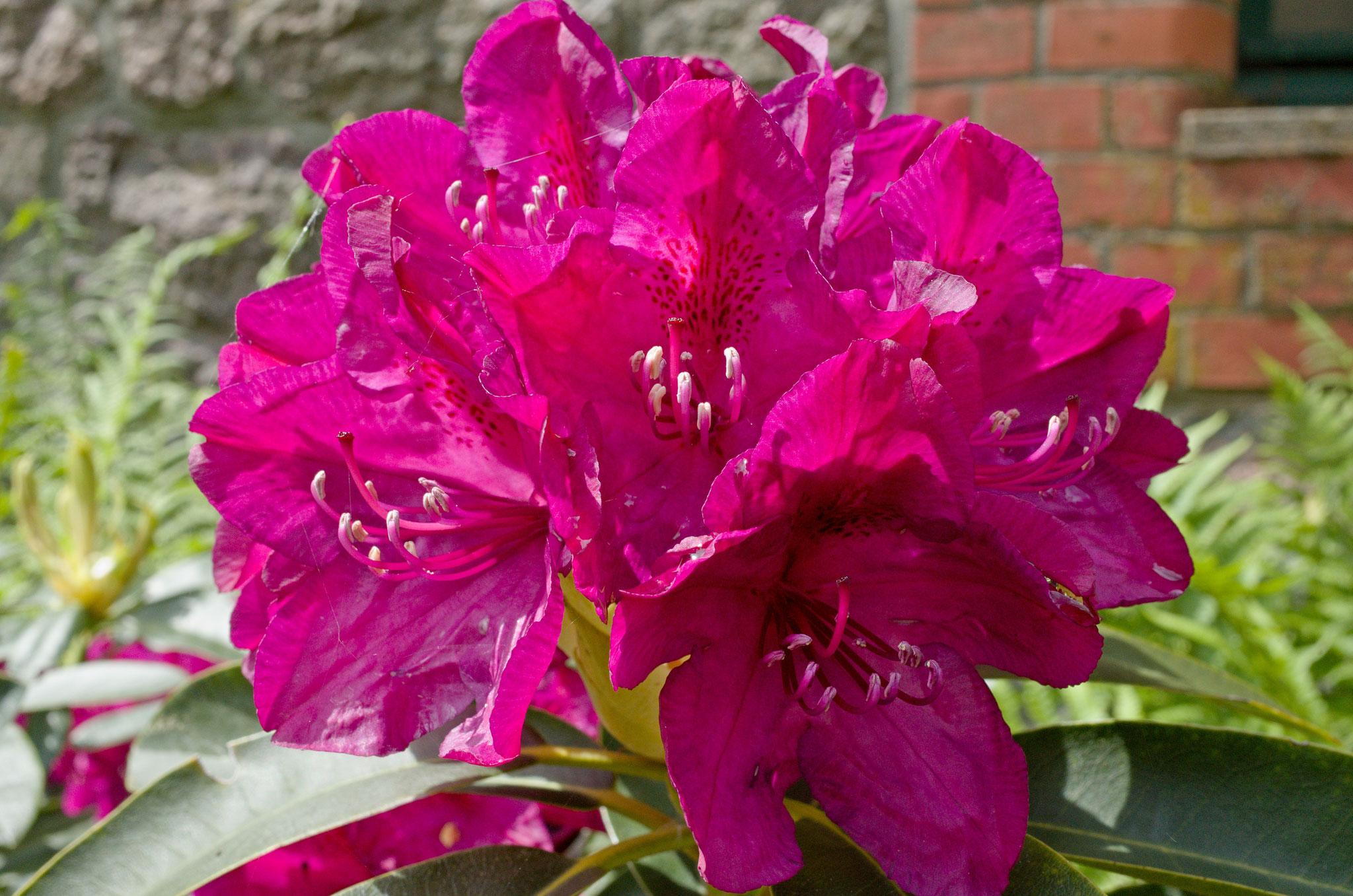 Titel der Wanderung: Zur Rhododendron-Blüte nach Wiligrad am 17.05.2017