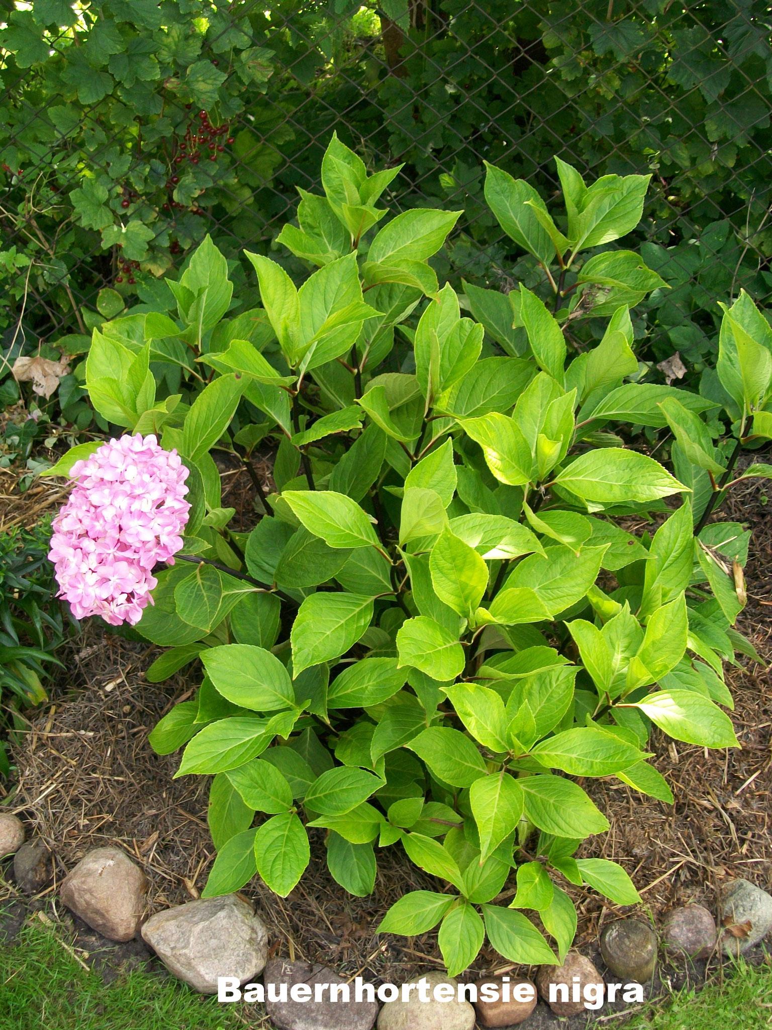 Bauernhortensie nigra rosa schwarze Stengel