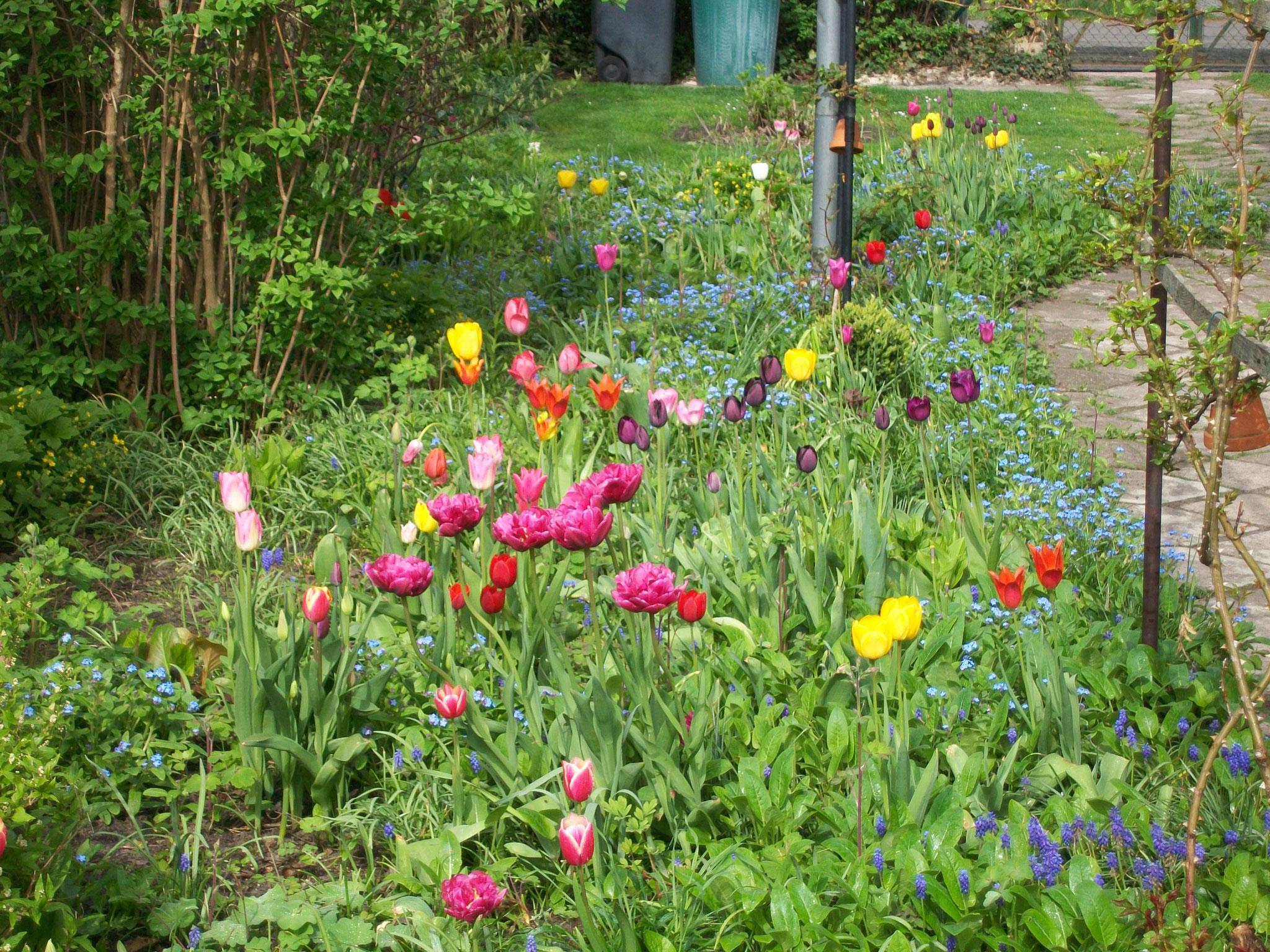 Tulpen und Vergissmeinnicht