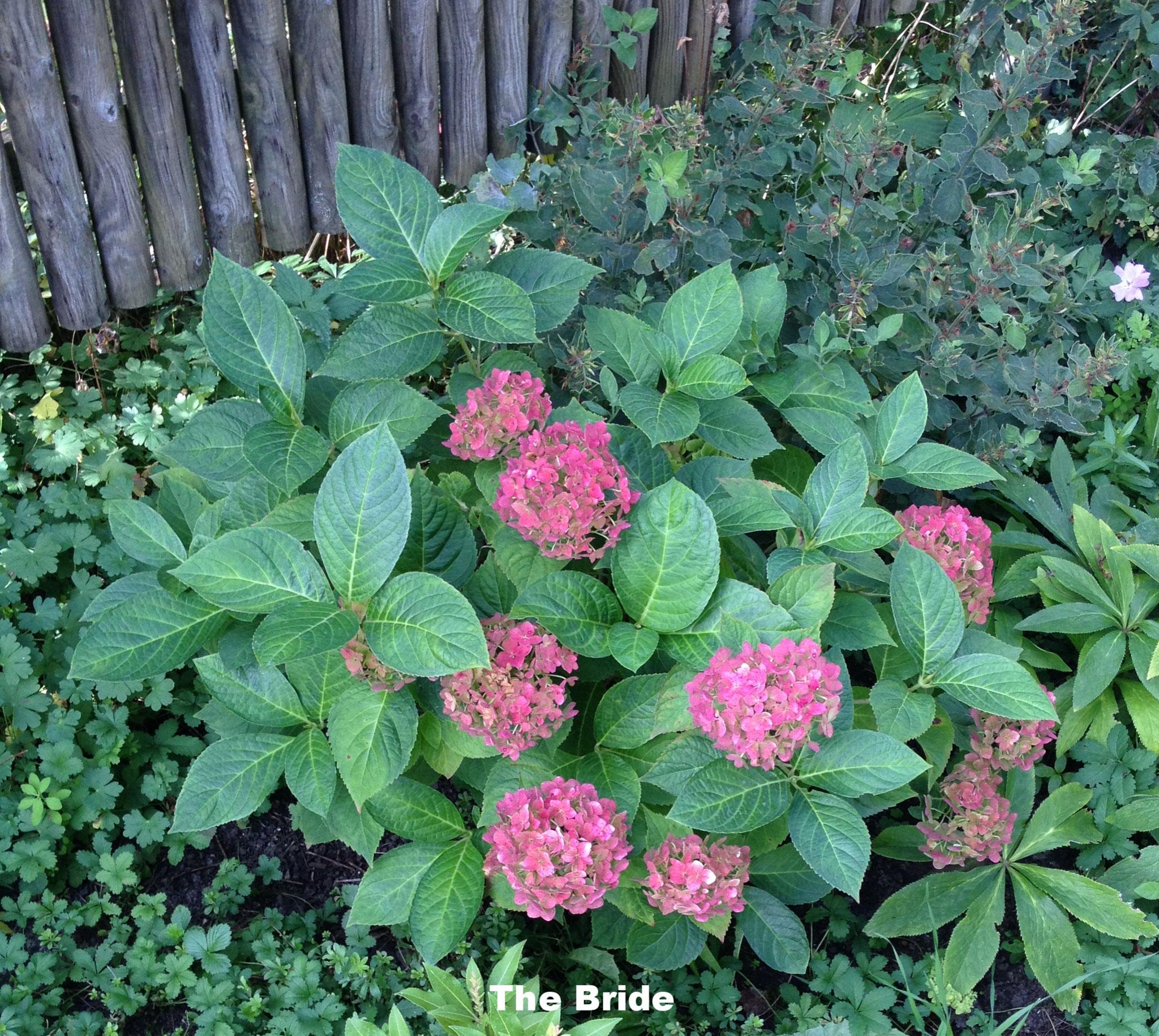 Hortensie Endless Summer reinweiß bis rot im Verblühen