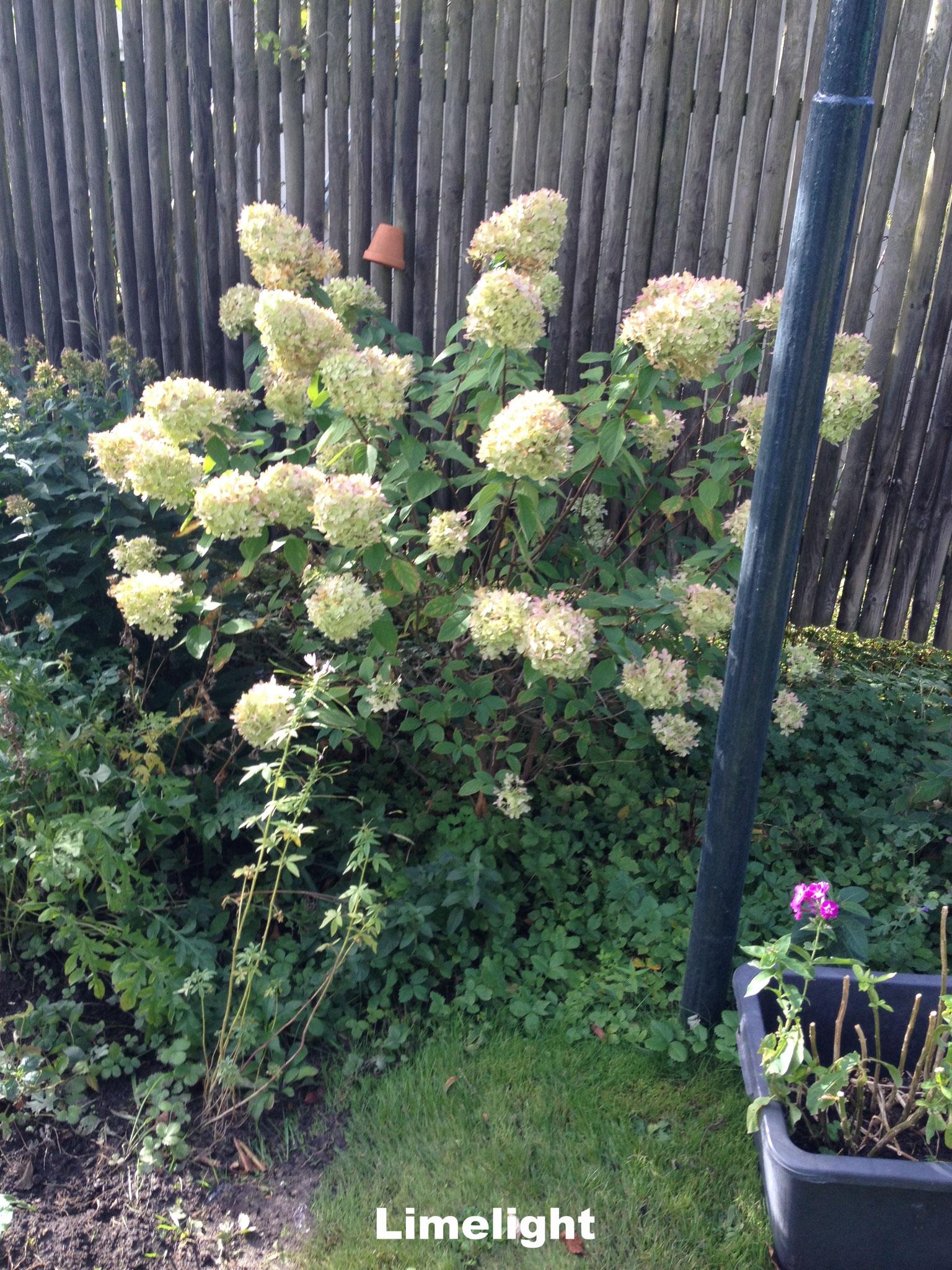 Hortensie paniculata Rispenhortensie Limelight weiß grünlich