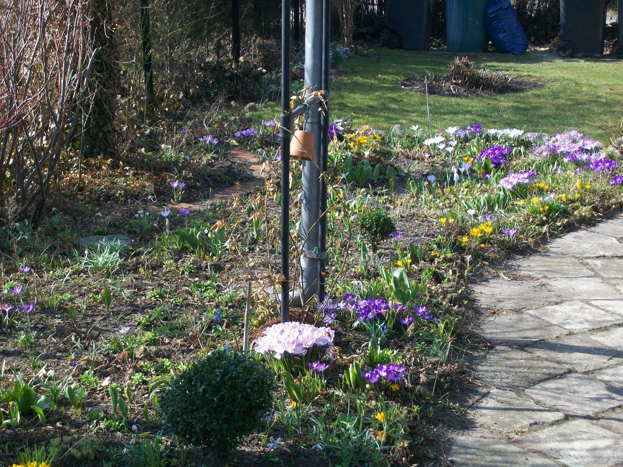 Rabatte mit Frühlingsblühern, Krokusse