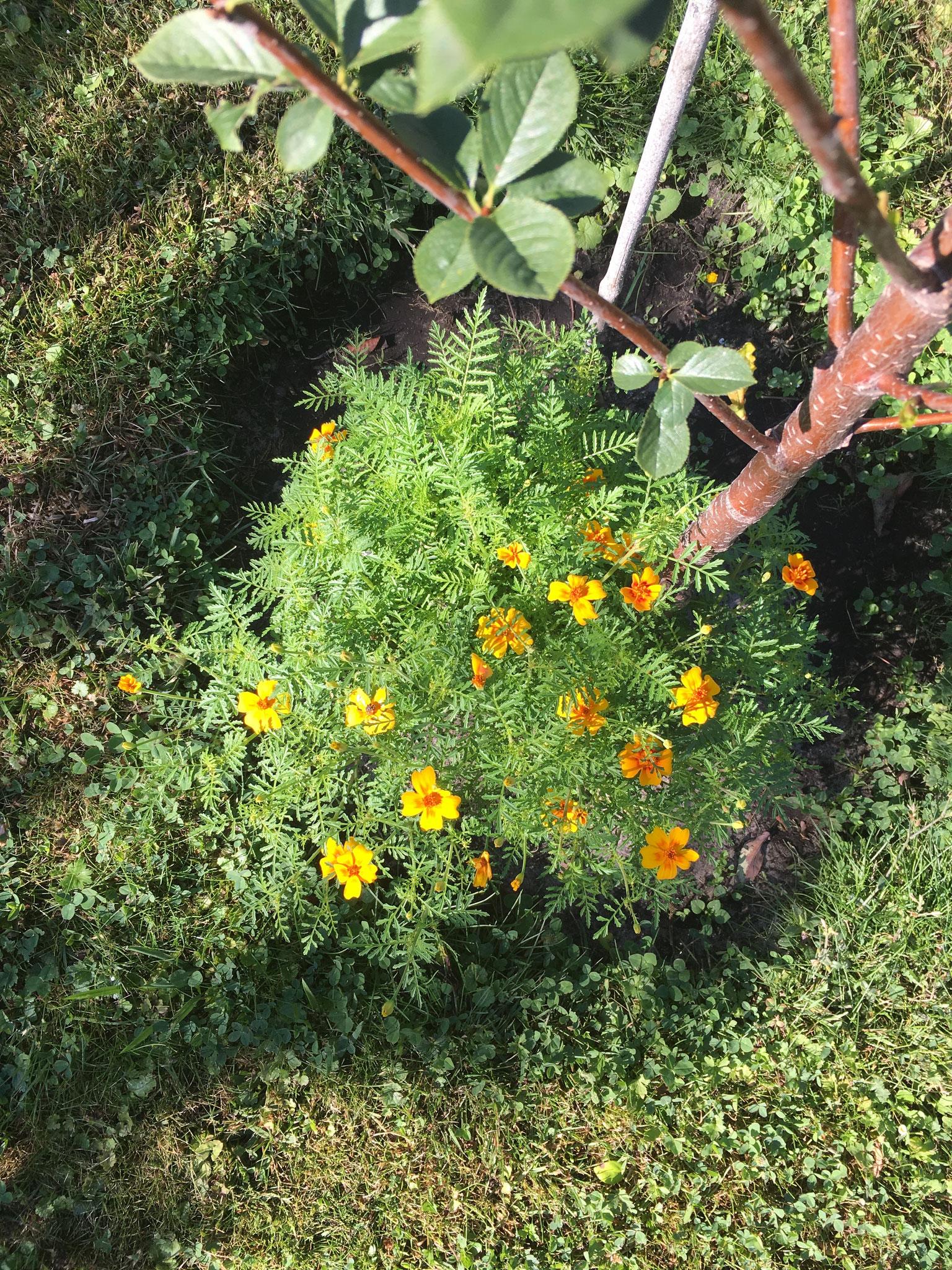 Zwerg-Tagetes Unterpflanzung Obstbaum